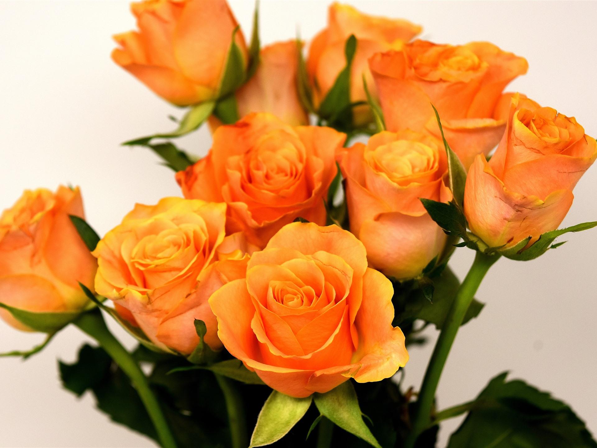 розово оранжевые розы картинка невысоких березок холмов