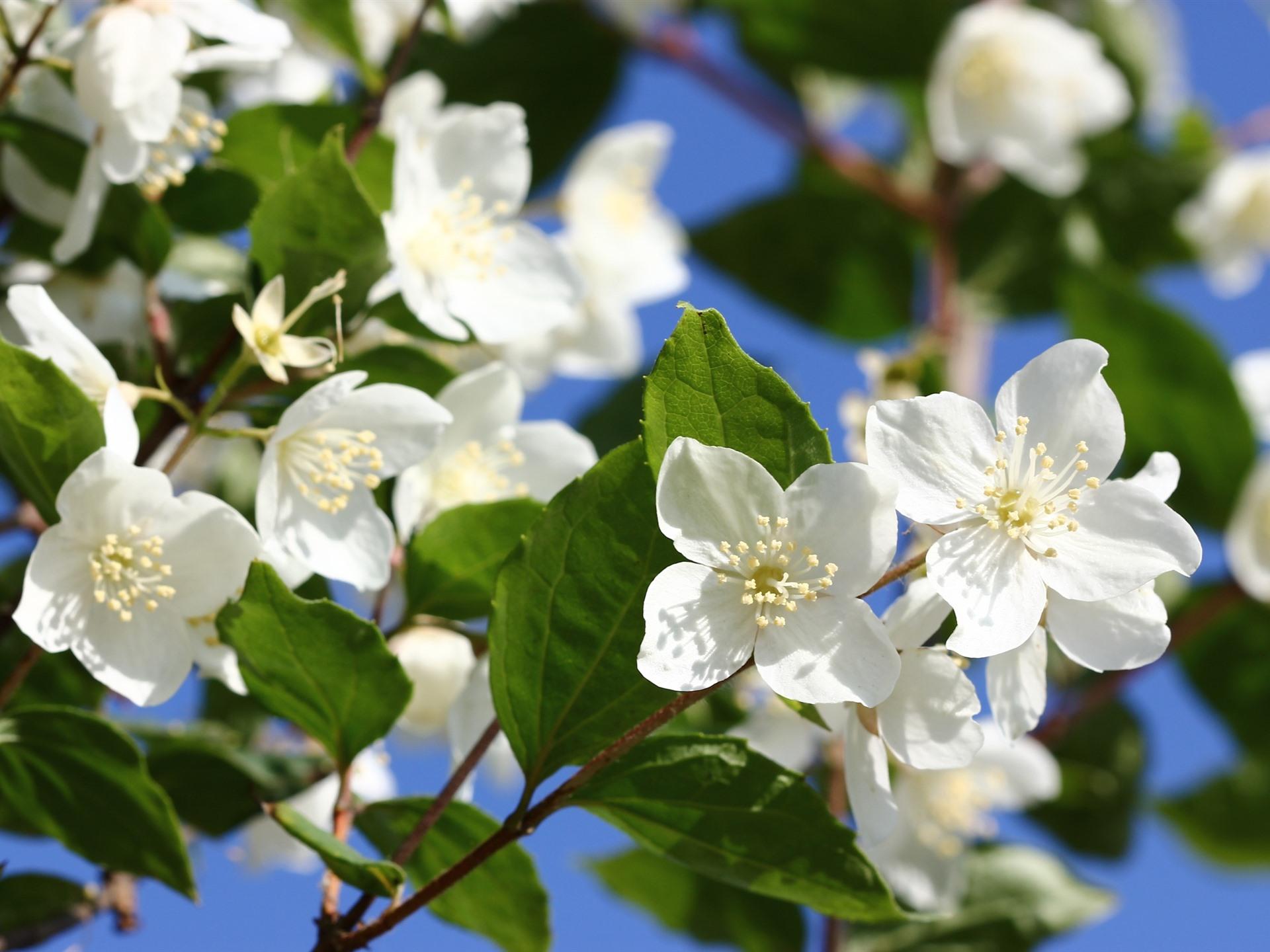壁紙 白い花 ジャスミン 春 19x1440 Hd 無料のデスクトップの背景 画像