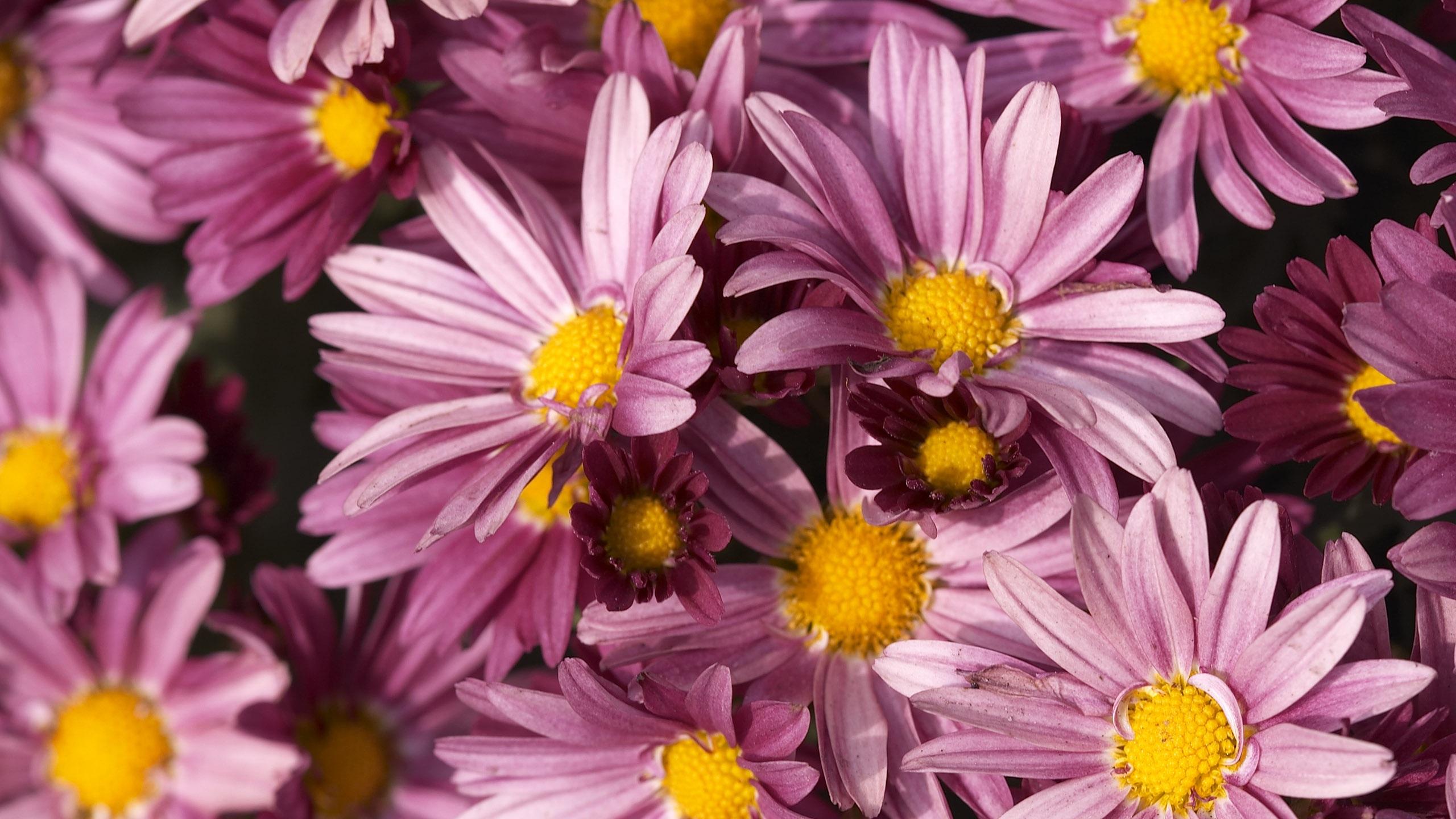 Fonds d 39 cran t l charger 2560x1440 fleurs pourpres qhd for Fond ecran qhd