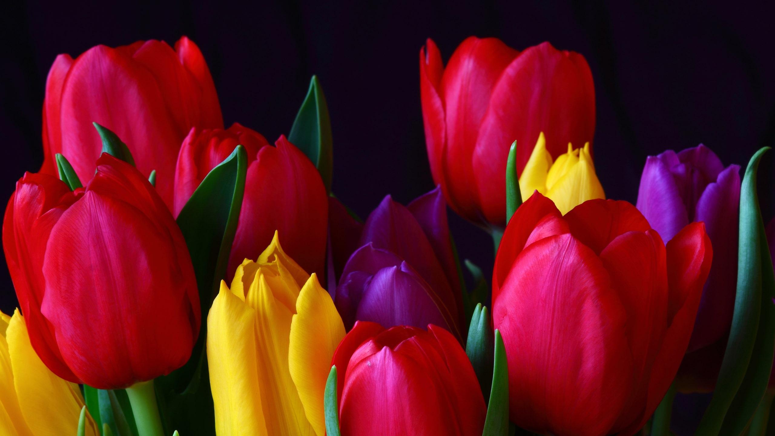 Fonds D Ecran Tulip 2560x1600 Hd Image