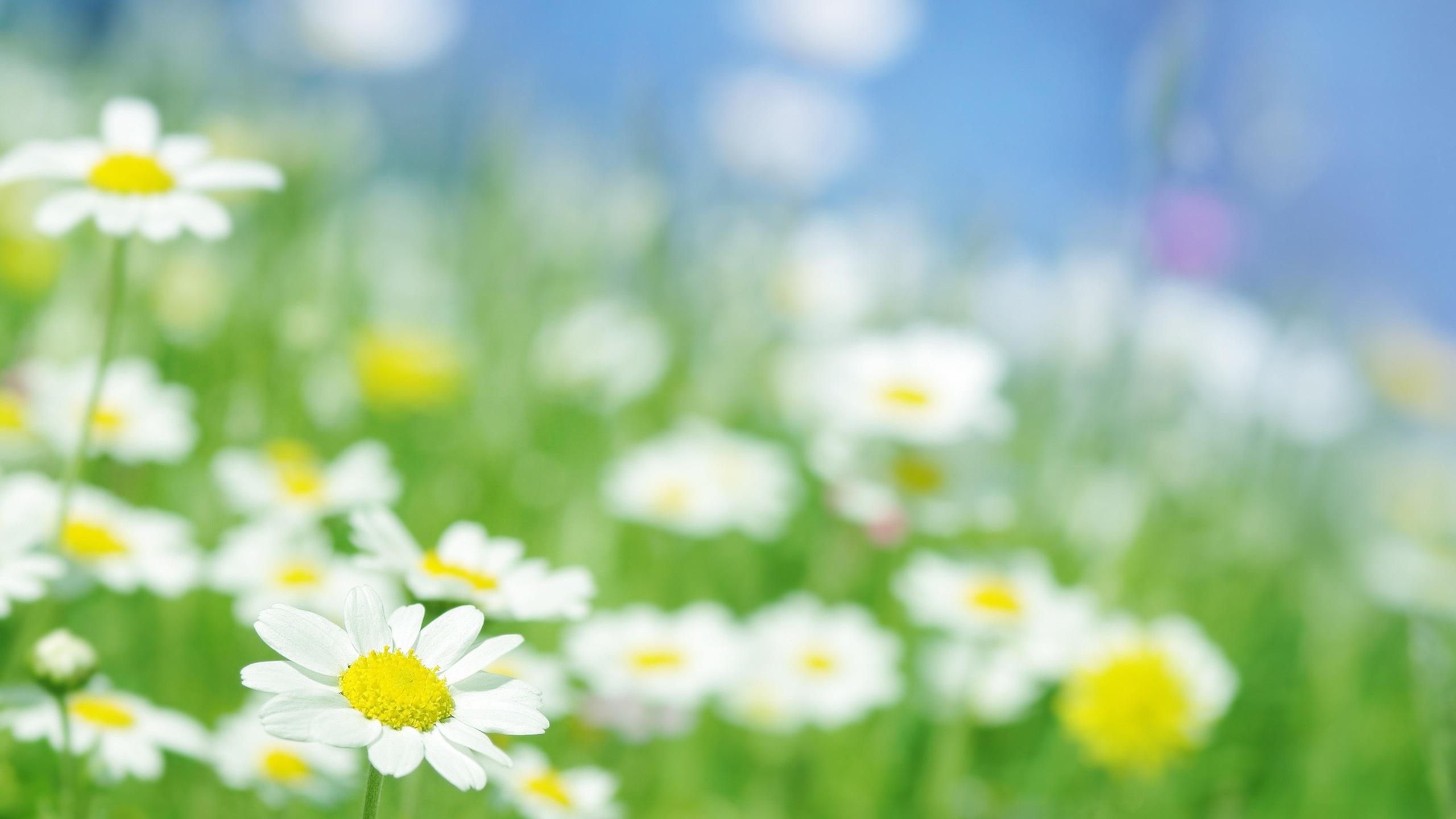 壁紙 カモミールの花はマクロ 2560x1600 Hd 無料のデスクトップの背景