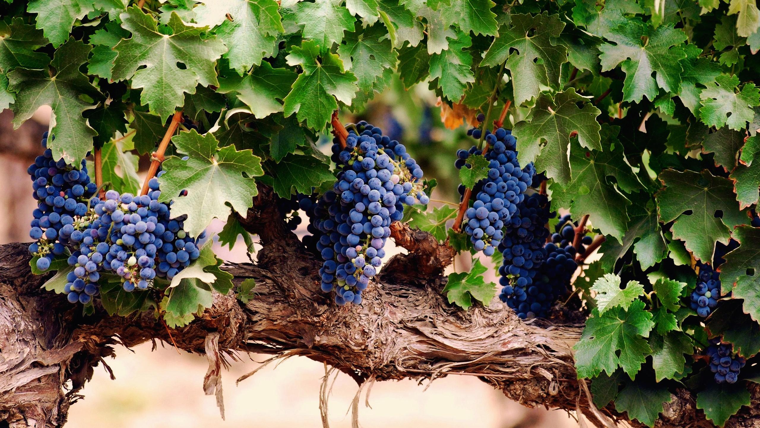 Download Wallpaper 2560x1440 Purple grape harvest season ...