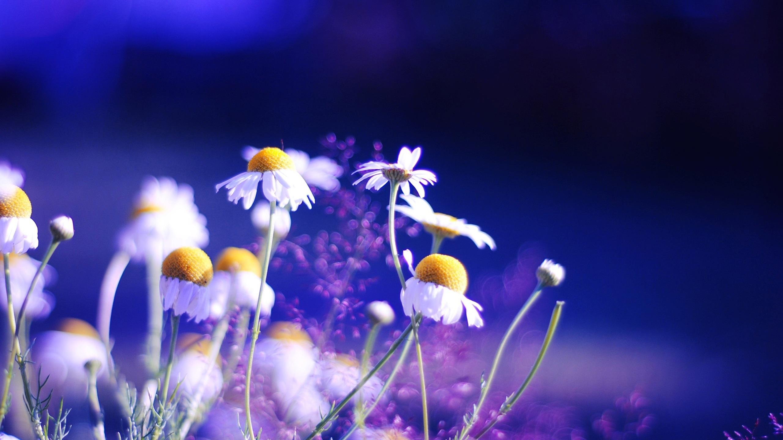 Fonds d 39 cran t l charger 2560x1440 daisy fleurs sur fond for Fond ecran qhd