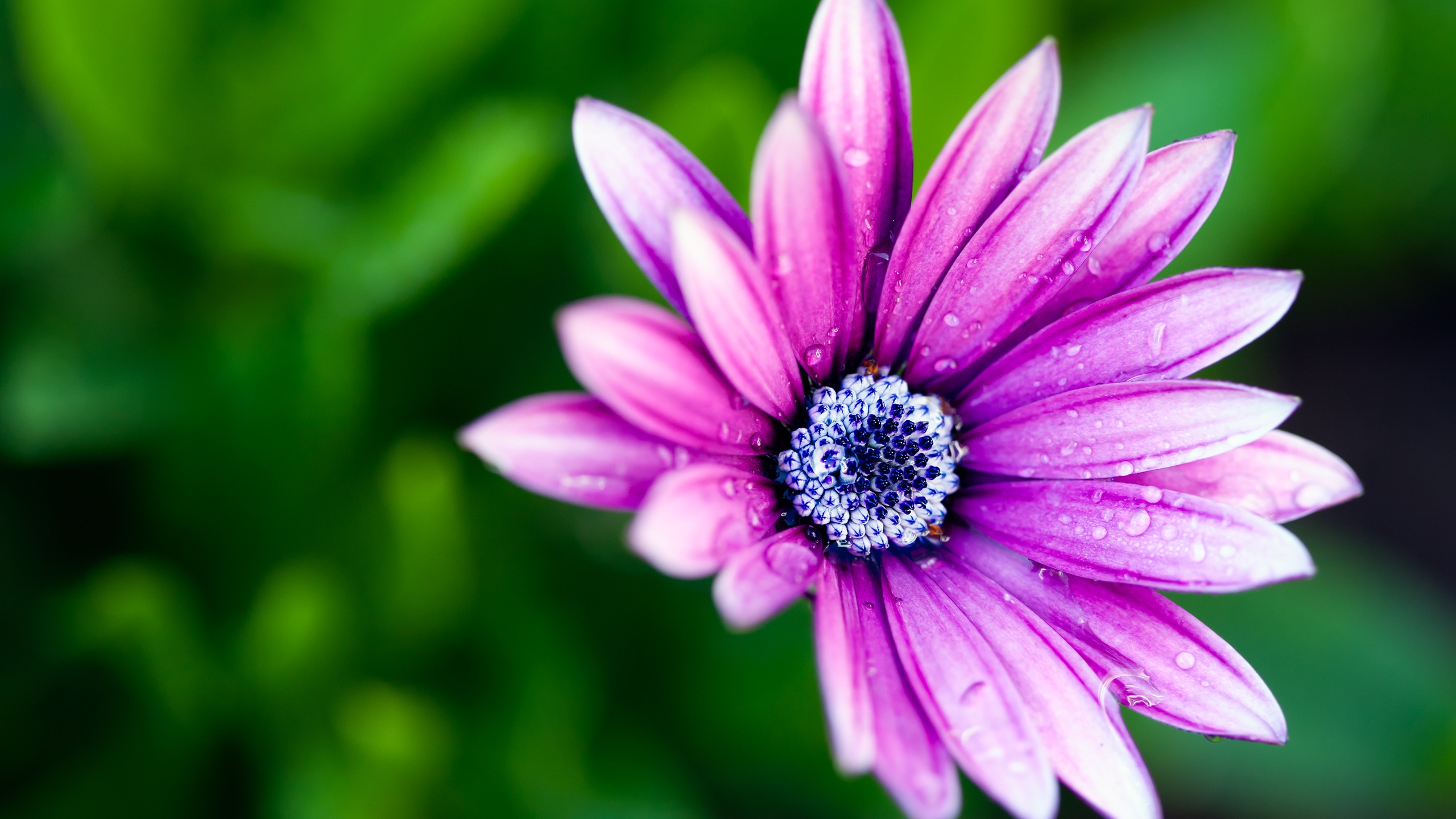 lavender flowers wallpapers 2560x1440 - photo #7