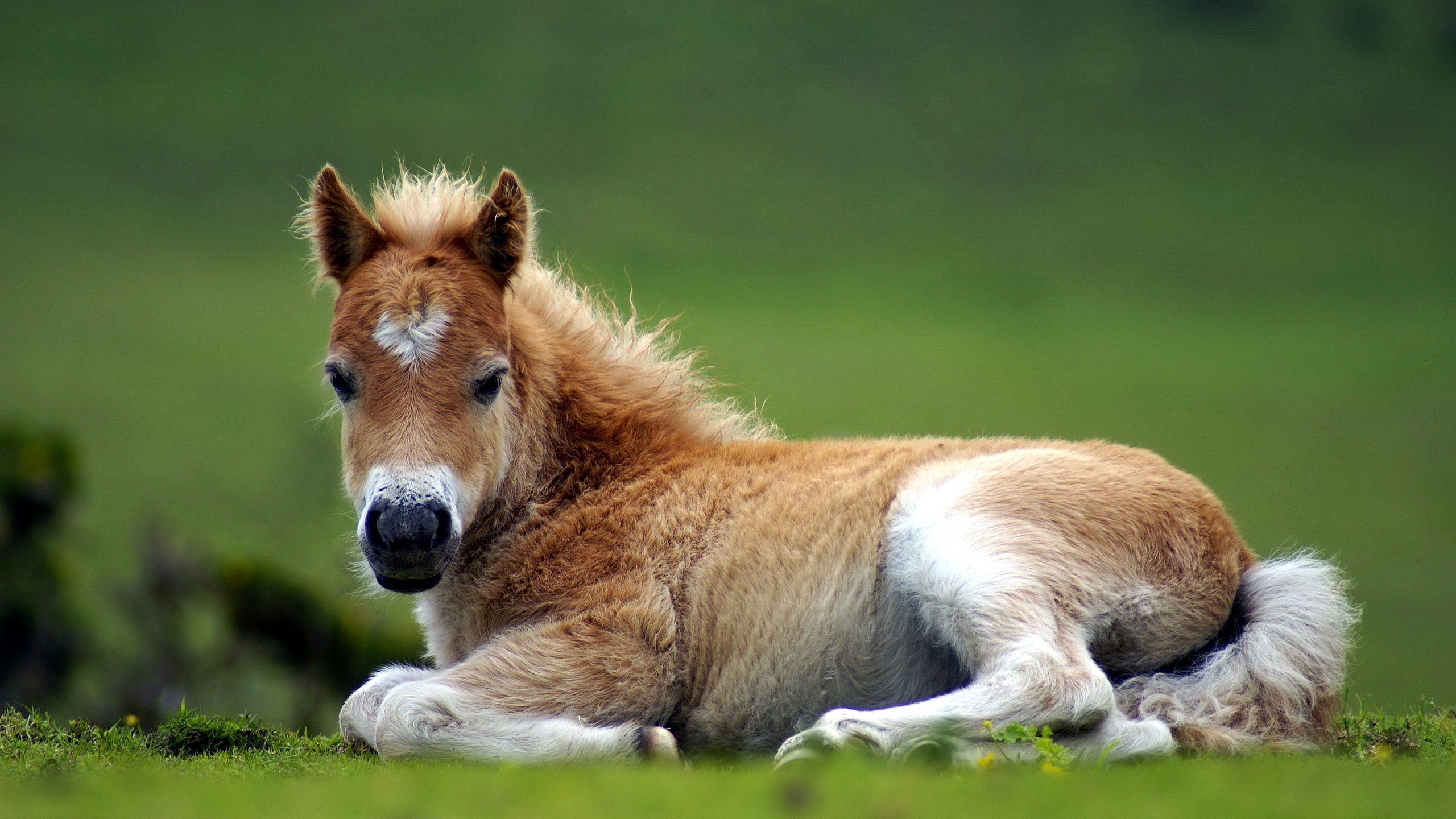 Wallpaper A Colt Lying On The Ground 2560x1600 Hd Picture Image