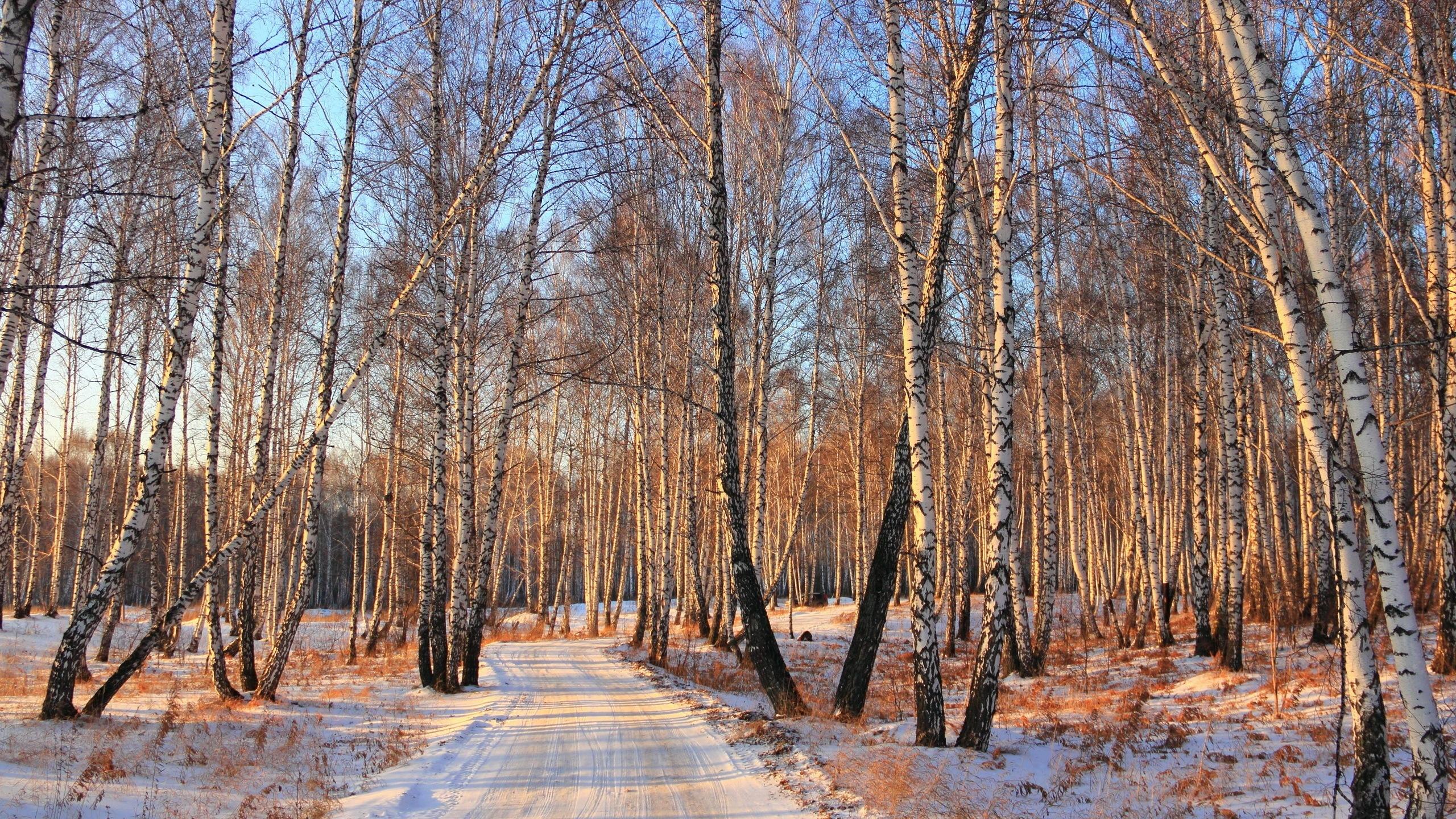 雪冬、白樺の森道 壁紙 - 2560x1440   雪冬、白樺の森道 壁紙