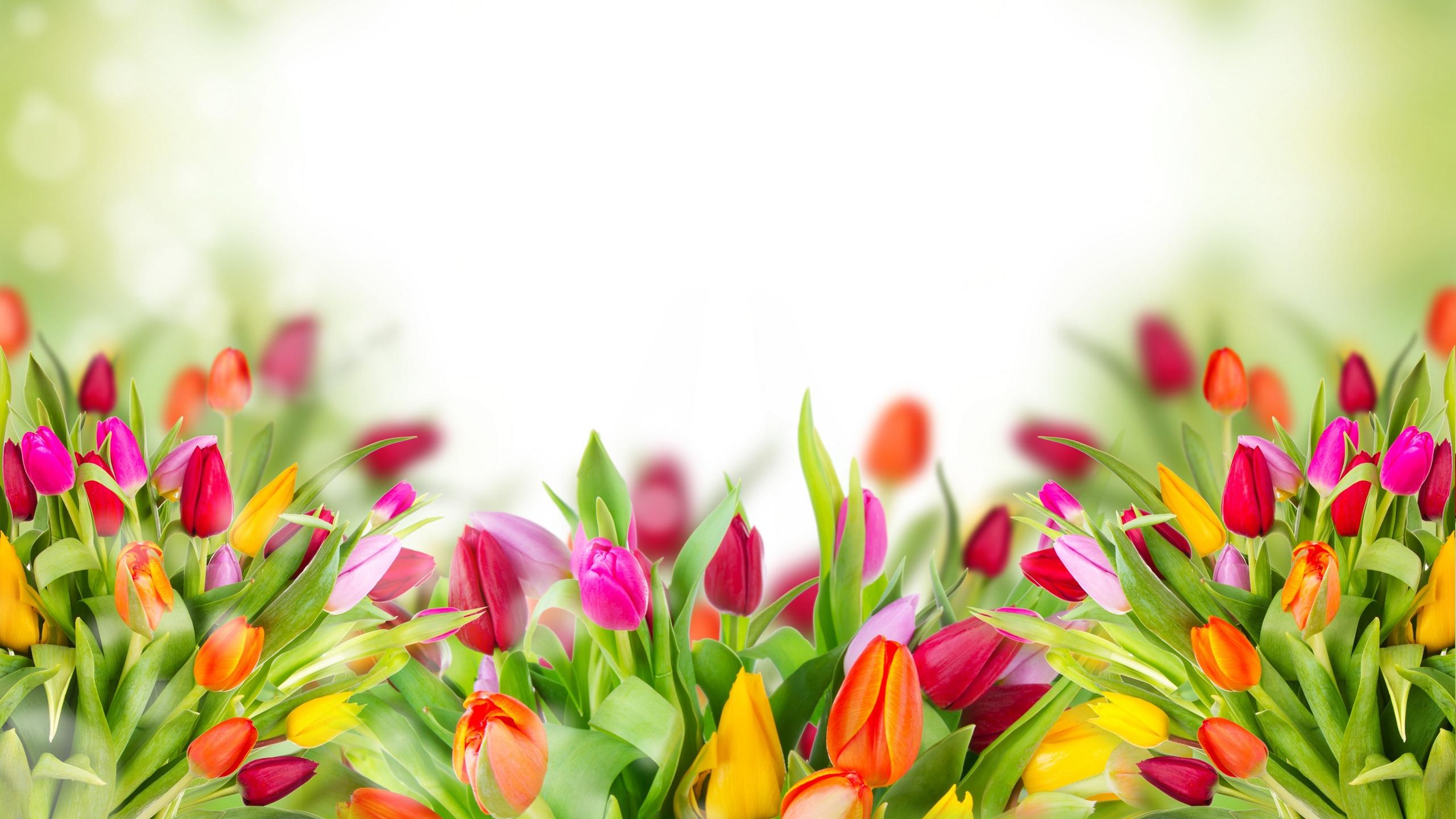 Fonds Décran La Marine Tulipe Fond éblouissement 2560x1440