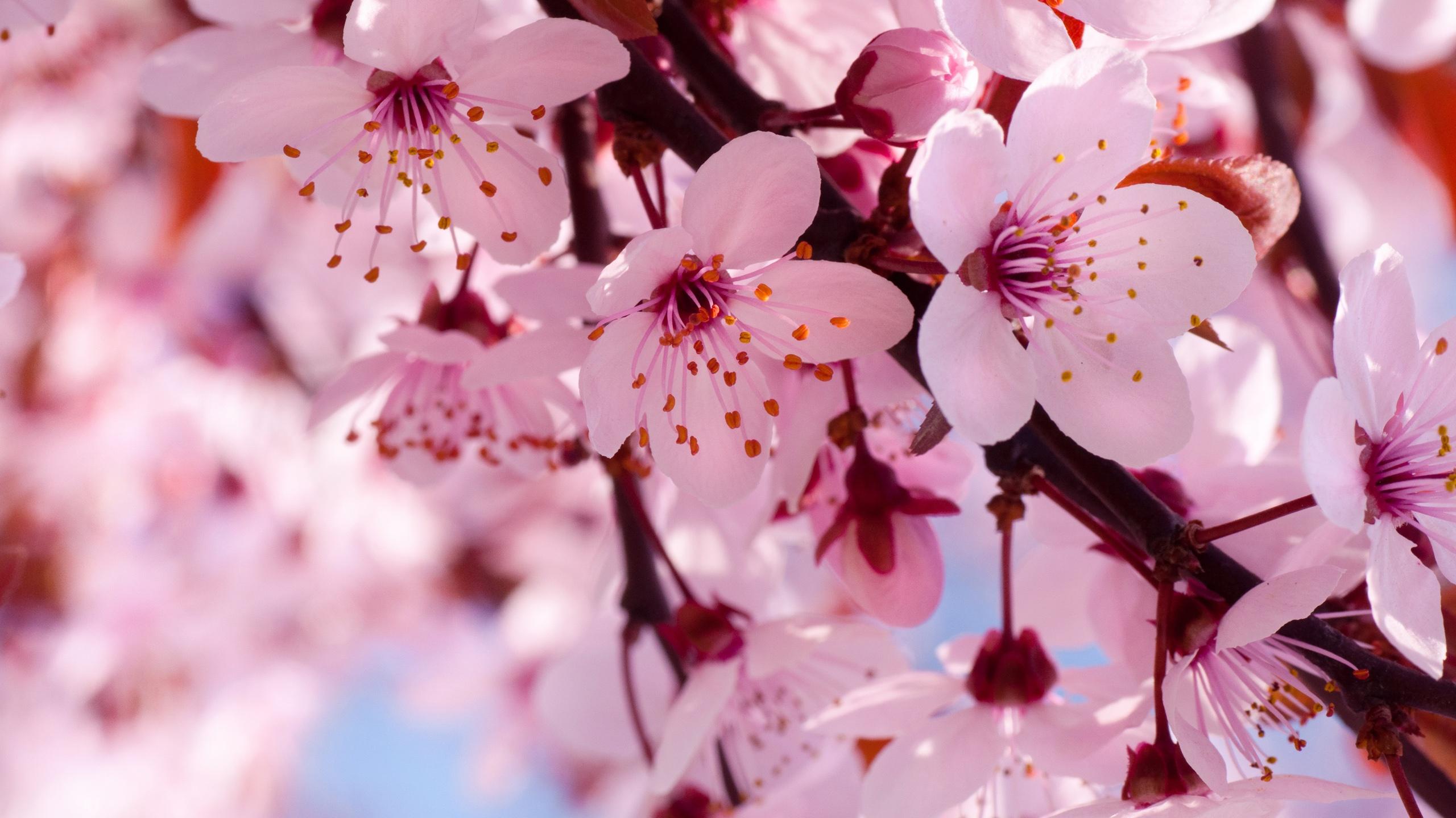 wallpaper spring flowers in full bloom  pink cherry