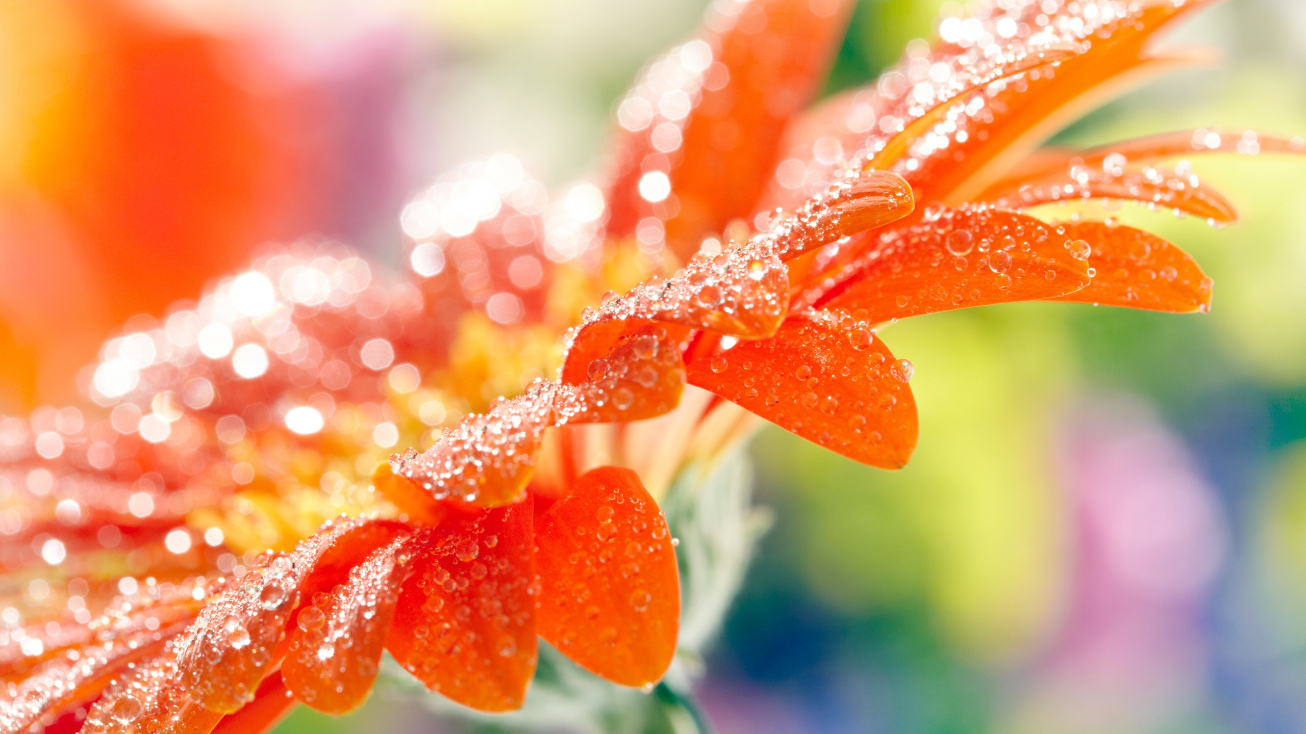 Orange gerbera flower petals water drops macro photography Wallpaper