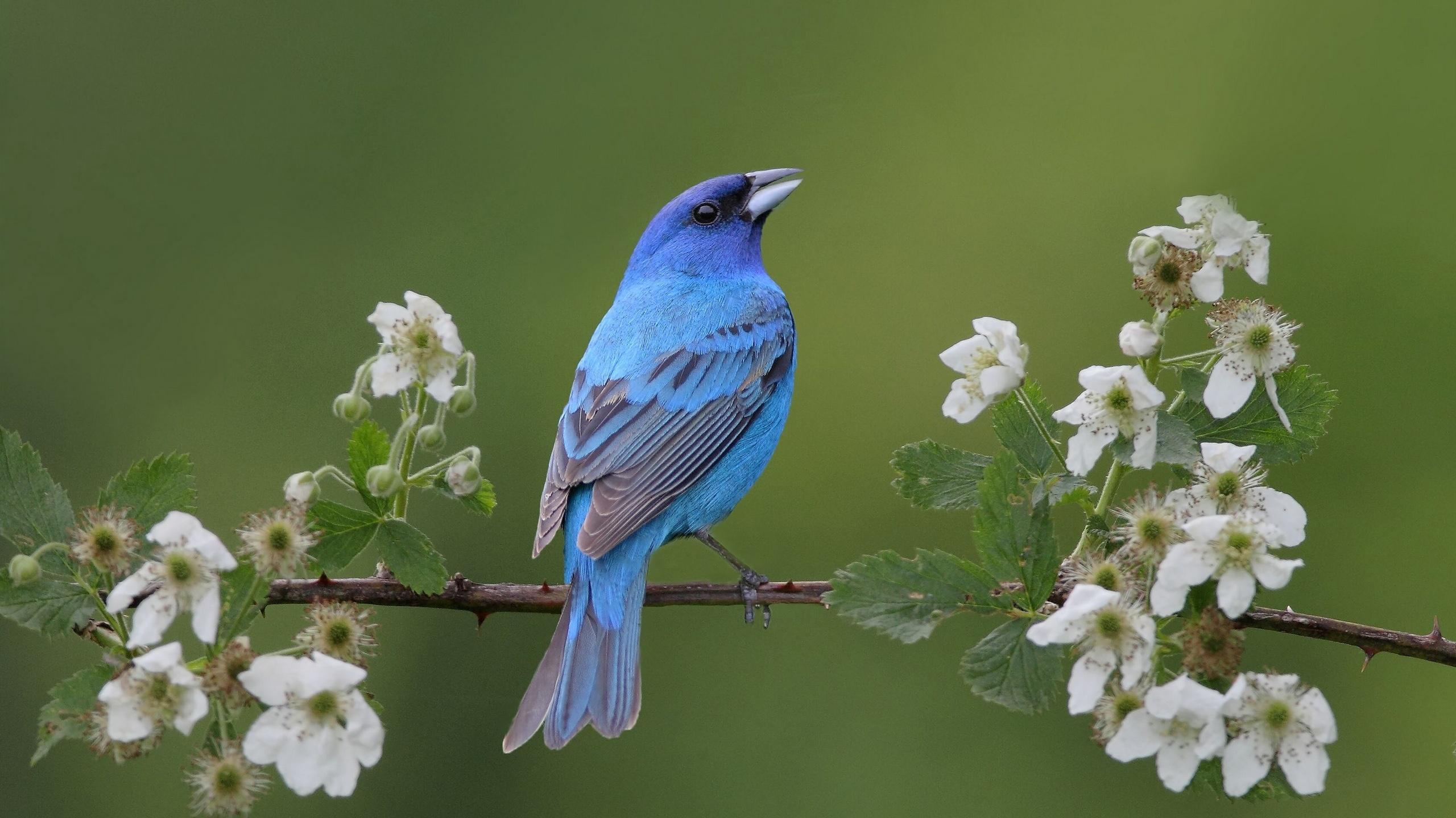 Fonds D Ecran Oiseau Bleu Au Printemps 2560x1600 Hd Image