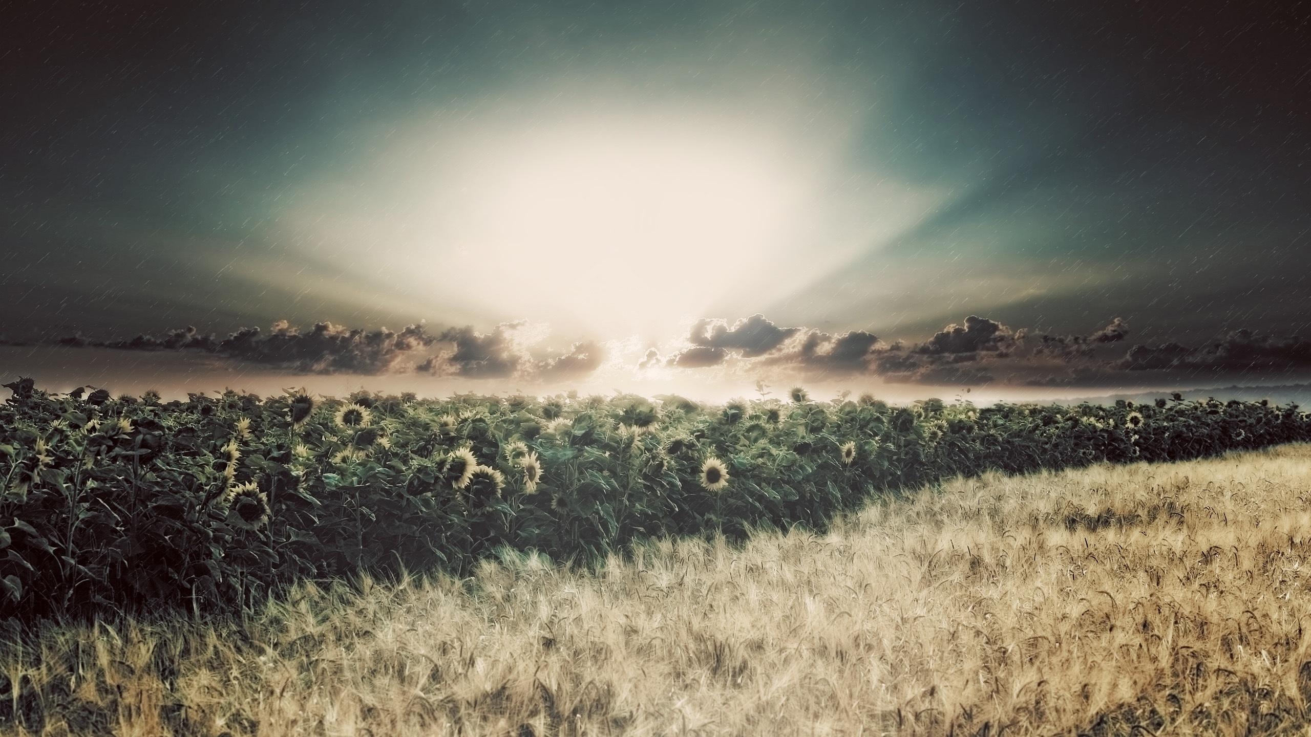 Download Wallpaper 2560x1440 Sunflowers Fields Rain