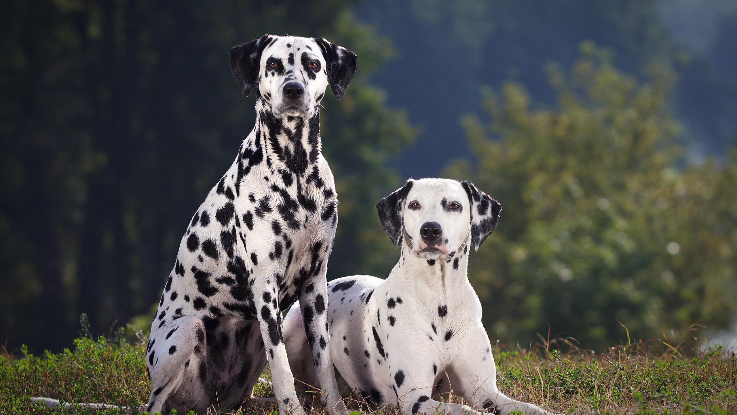 Fonds d 39 cran t l charger 2560x1440 deux chien dalmatien for Fond ecran qhd