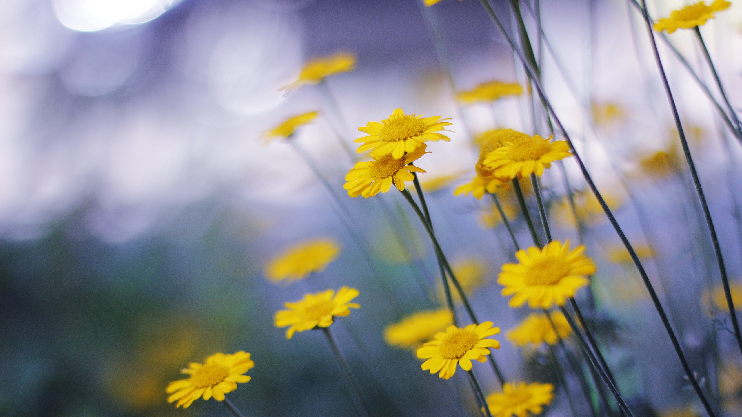 Fonds d 39 cran t l charger 2560x1440 peu de fleurs jaunes for Fond ecran qhd