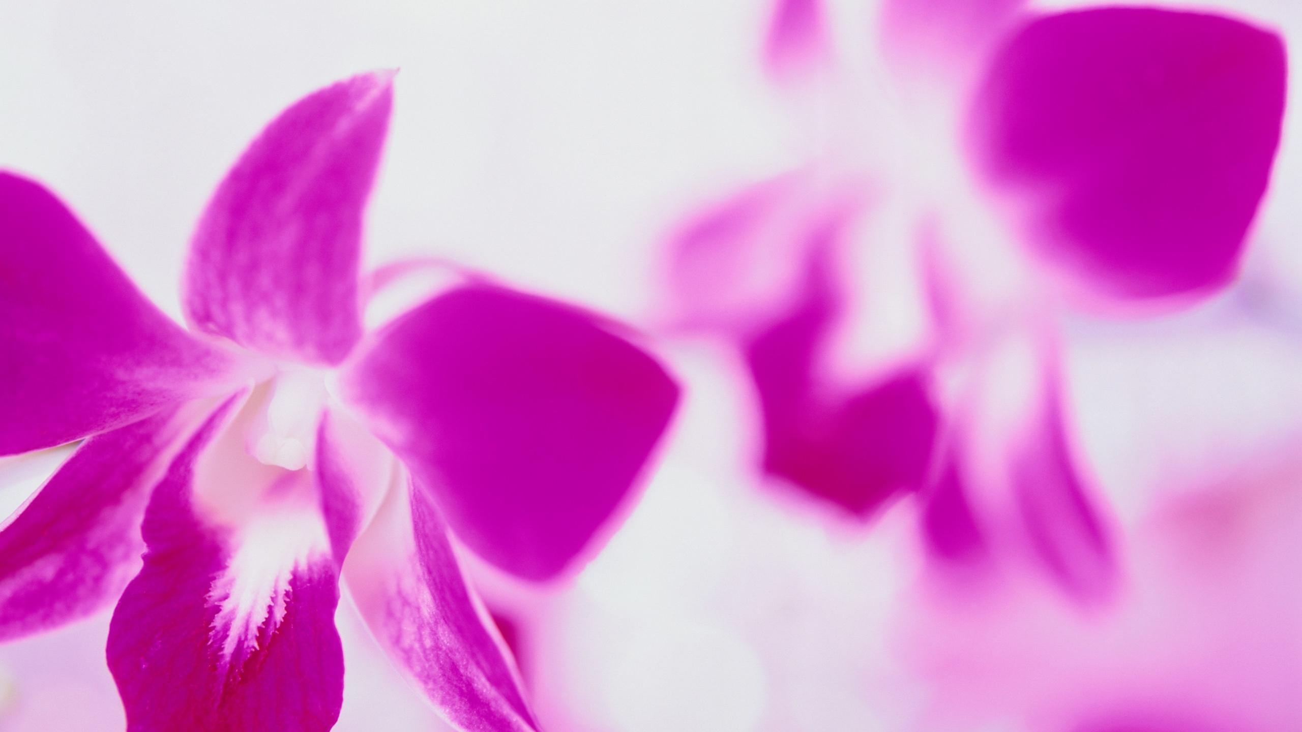 Fonds Décran Fleurs Roses Close Up Fond Blanc 2560x1600 Hd