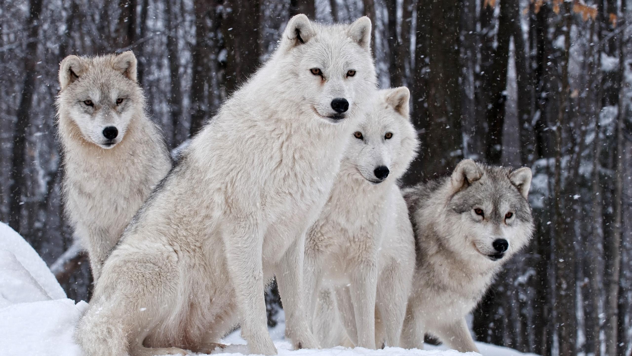 Loups famille nature hiver fonds d 39 cran 2560x1440 qhd for Fond ecran qhd