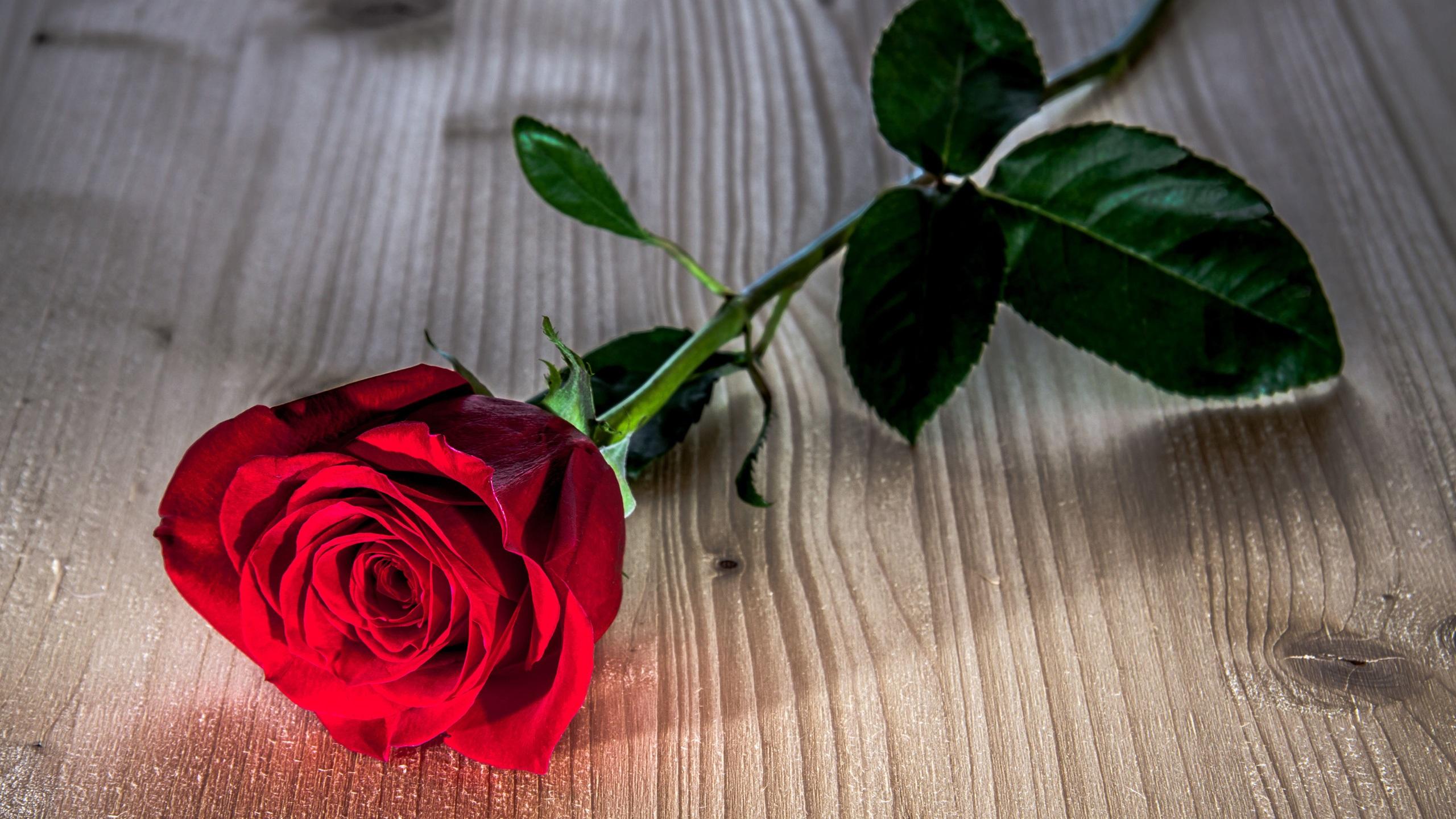 цветы роза фото бесплатно скачать