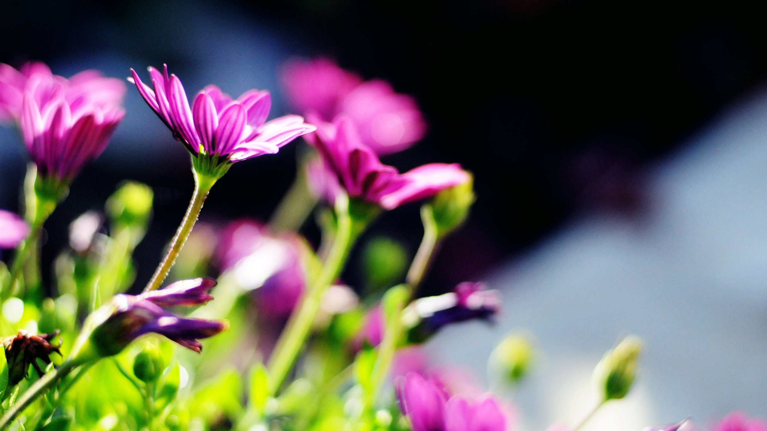Fonds d 39 cran t l charger 2560x1440 fleurs pourpres flou for Fond ecran qhd