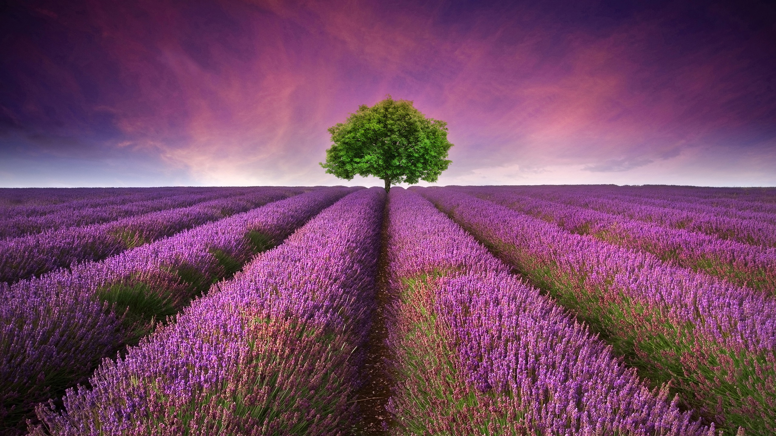lavender flowers wallpapers 2560x1440 - photo #1