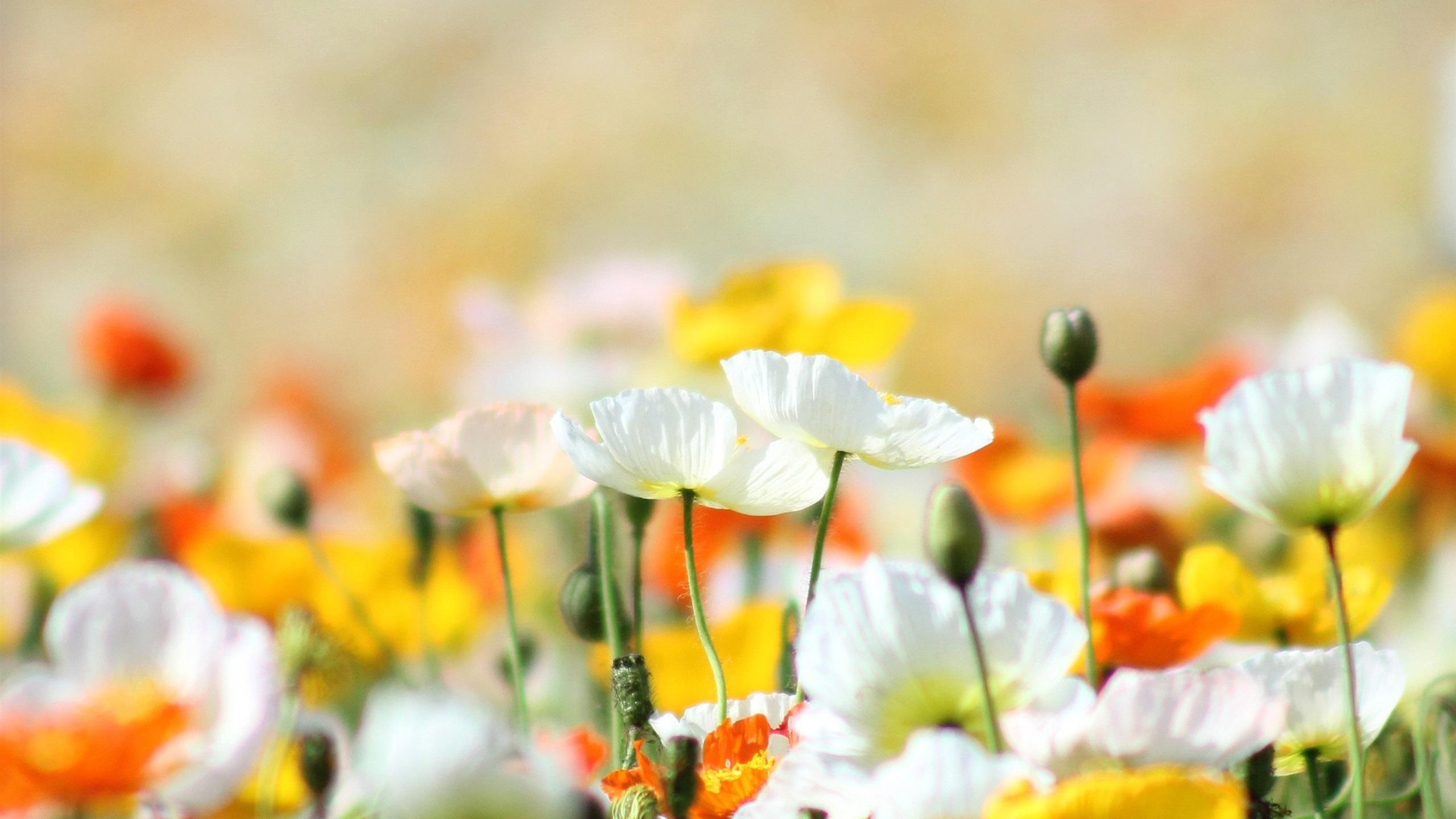 Muitas vezes Poppies, flores, amarelo, branco, laranja, verão Papéis de Parede  WF11