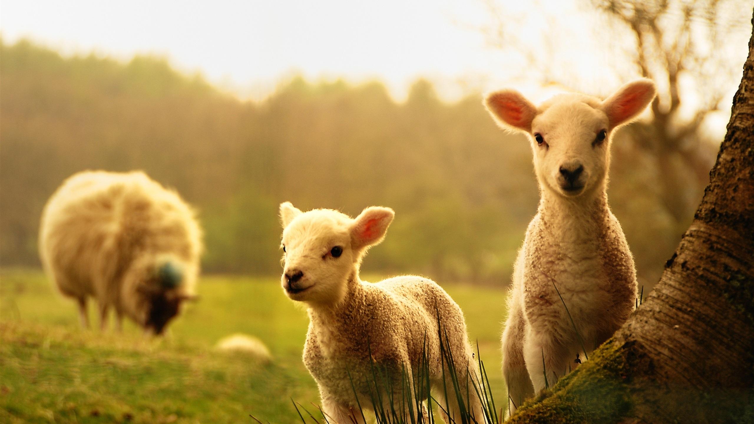 Fonds d 39 cran t l charger 2560x1440 moutons agneaux bois for Fond ecran qhd