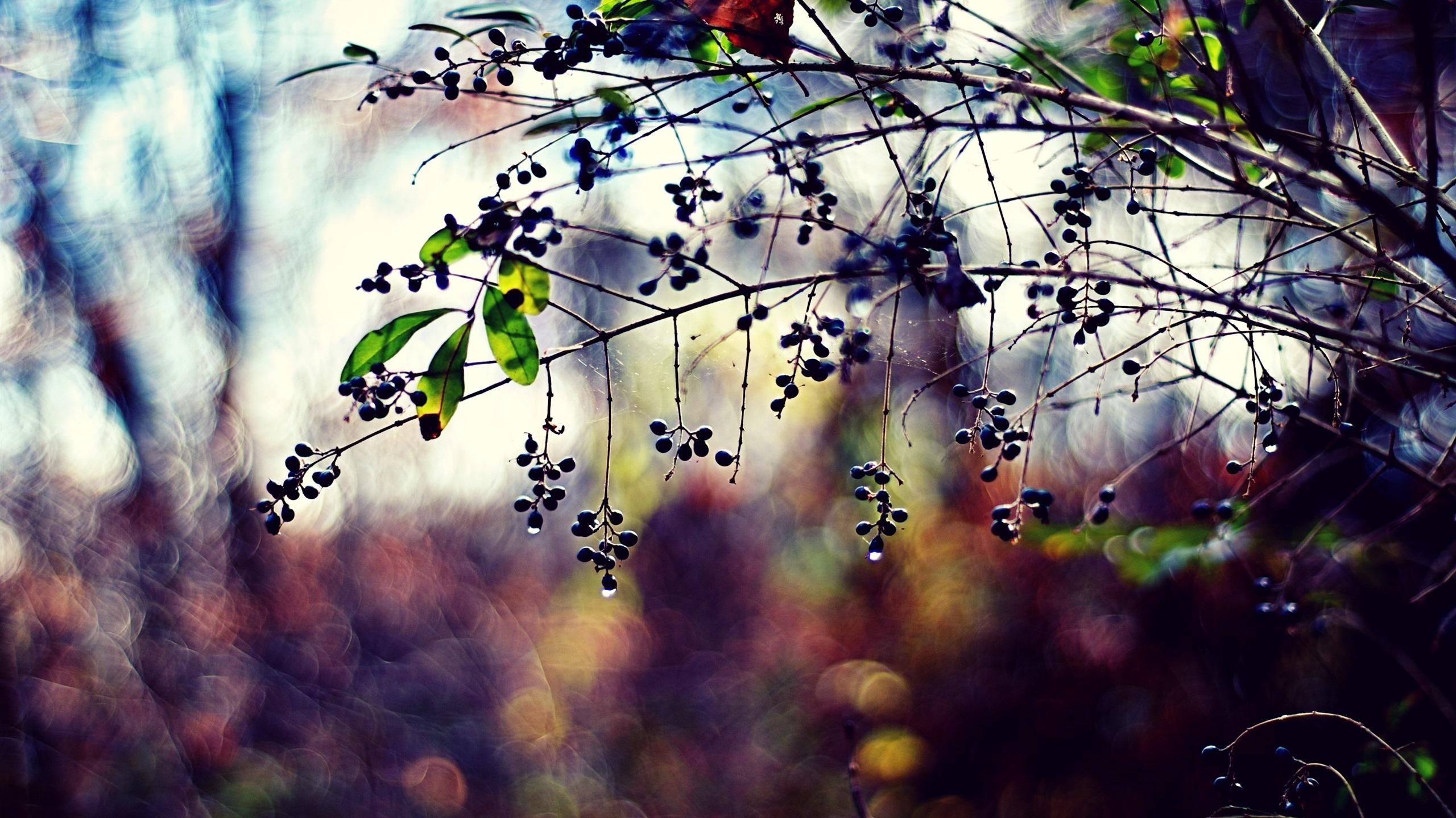 Plantes brindilles feuilles baies gouttes bokeh for Fond ecran qhd