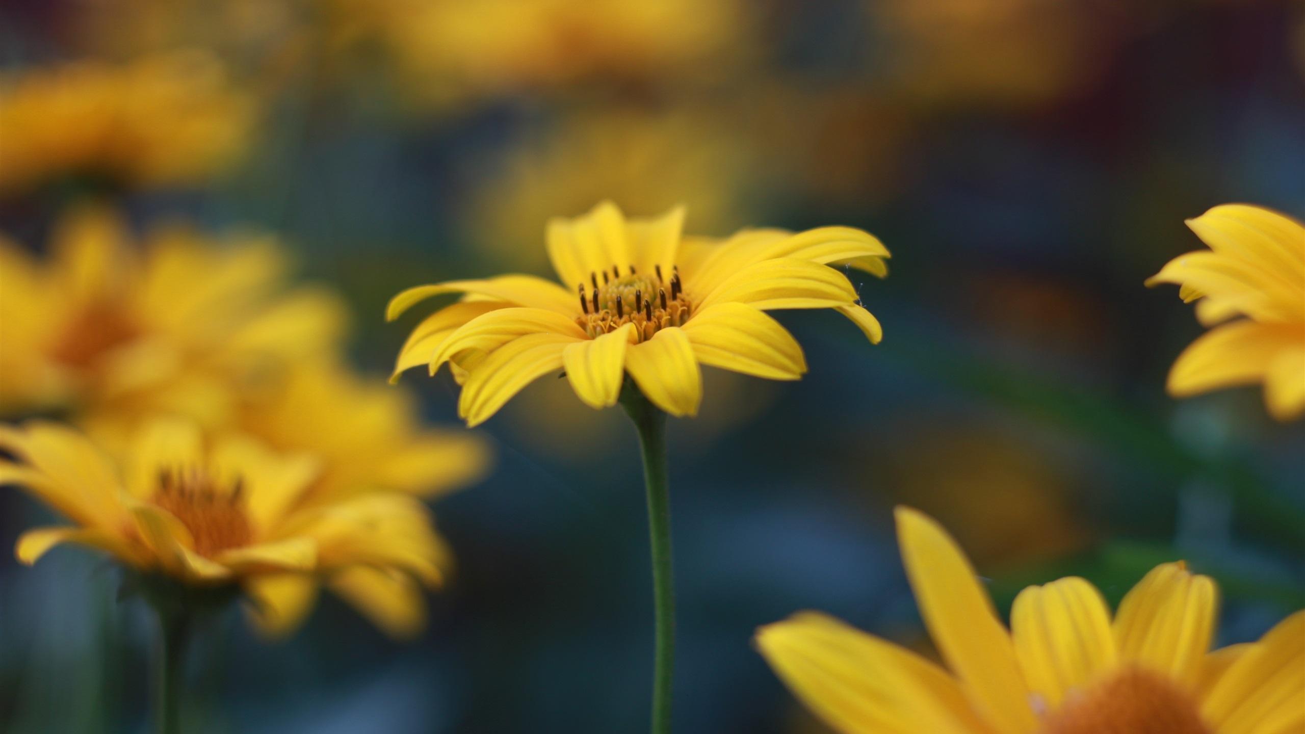 Fonds d 39 cran t l charger 2560x1440 fleurs jaunes herbe for Fond ecran qhd