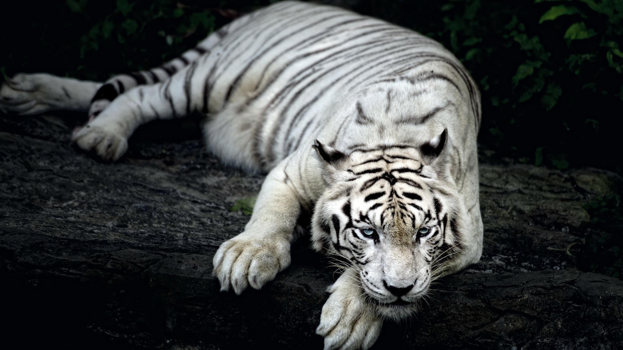 Weißer Tiger Rest Hintergrundbilder | 2560x1440 QHD ...