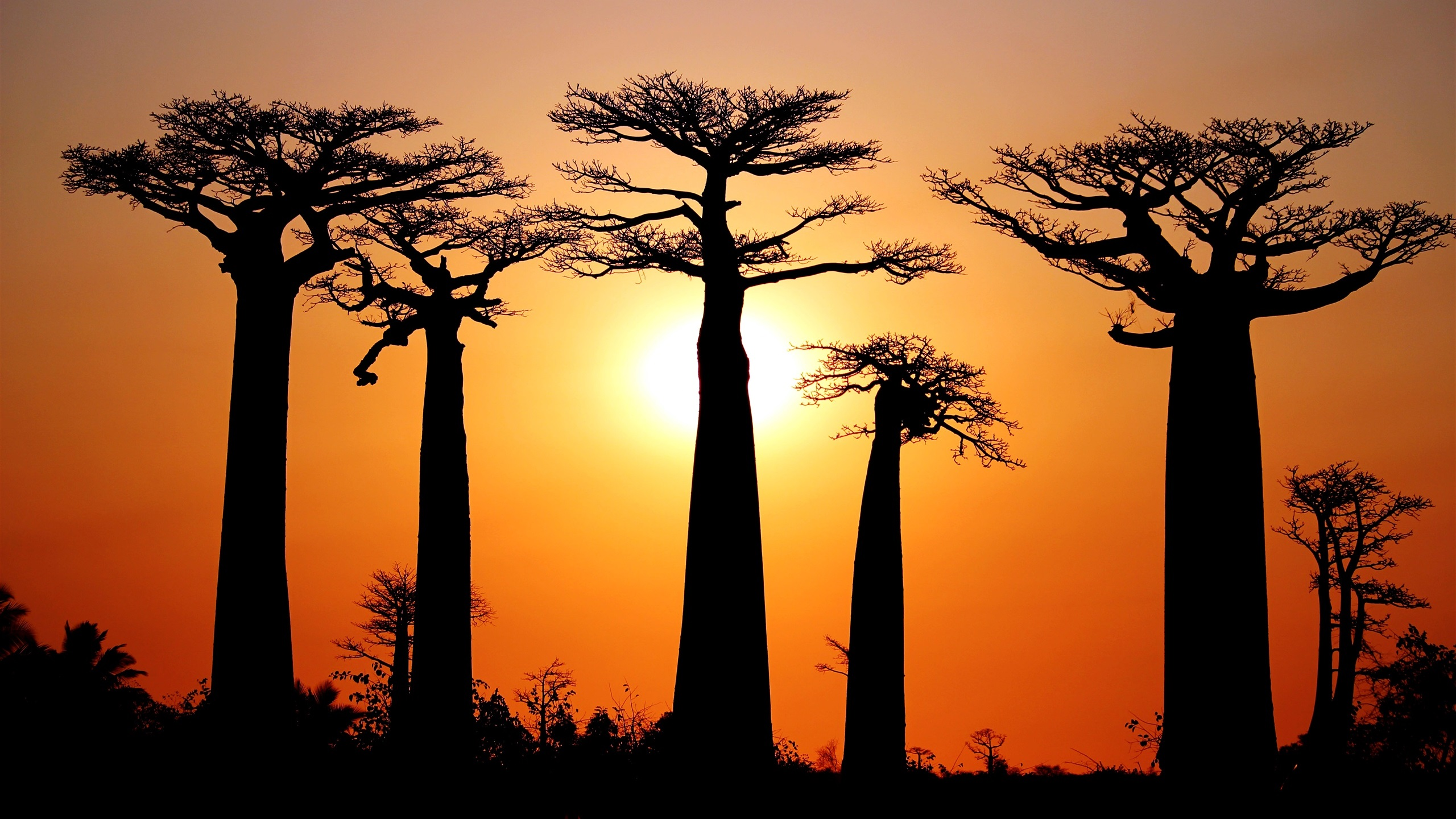 De nombreux baobabs coucher de soleil morondava for Fond ecran qhd