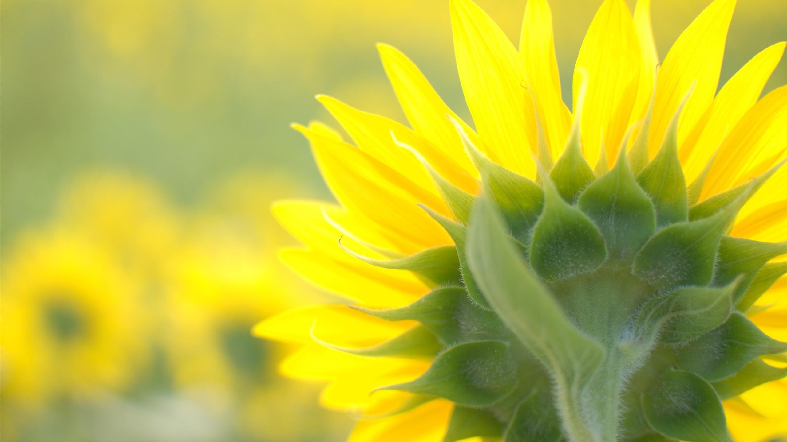 Fonds d 39 cran t l charger 2560x1440 sunflower close up for Fond ecran qhd