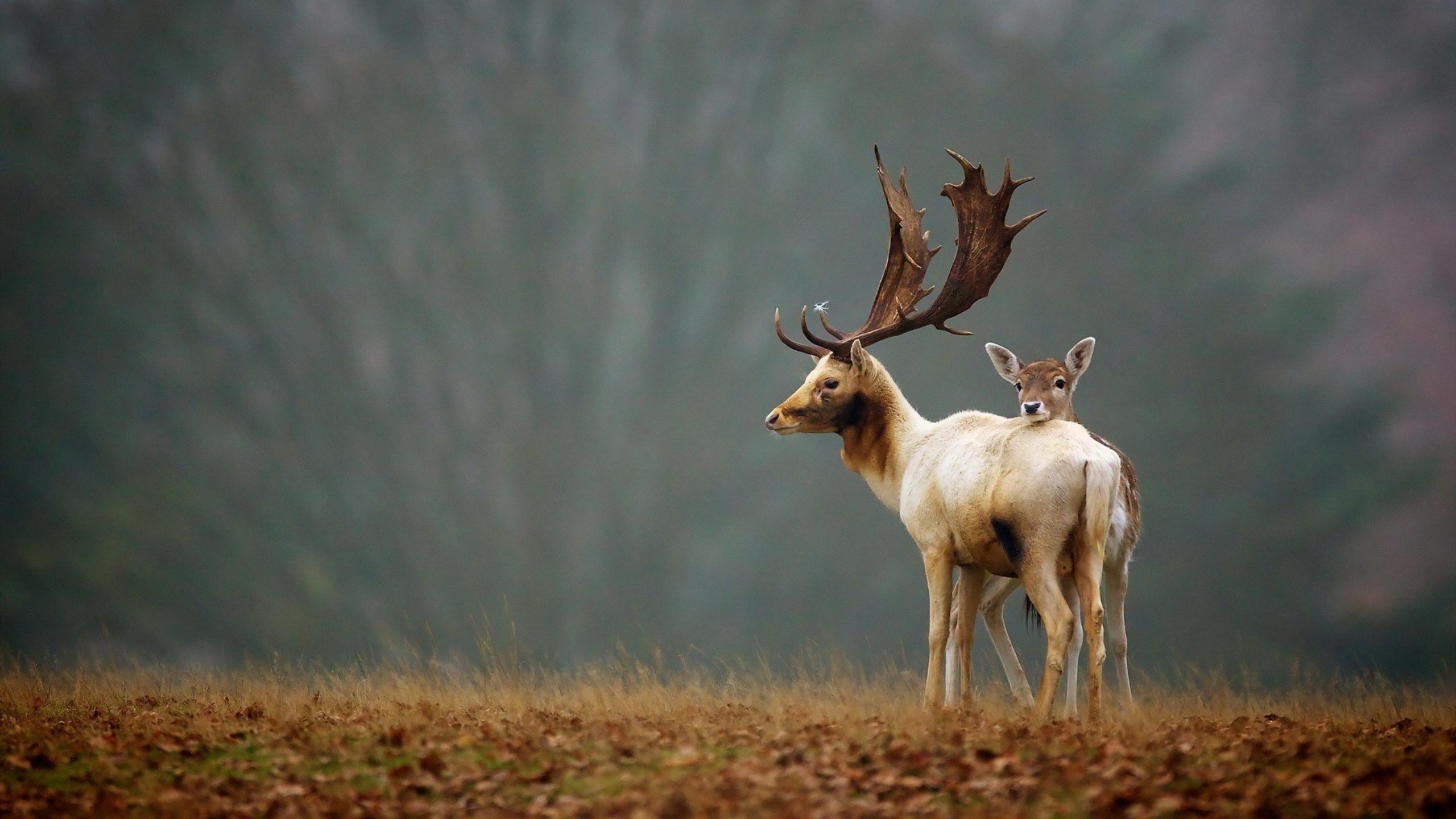природа животные олени nature animals deer бесплатно