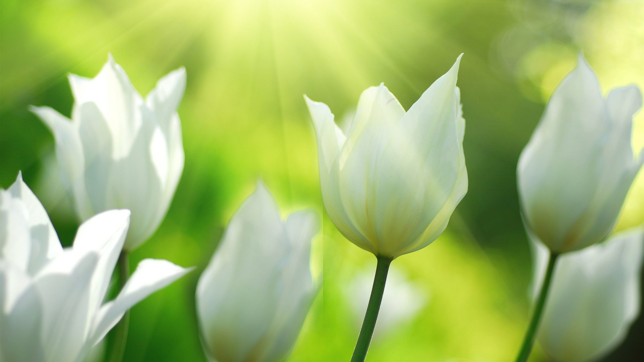 Wallpaper White Tulips Flowers In Spring 3840x2160 Uhd 4k Picture Image