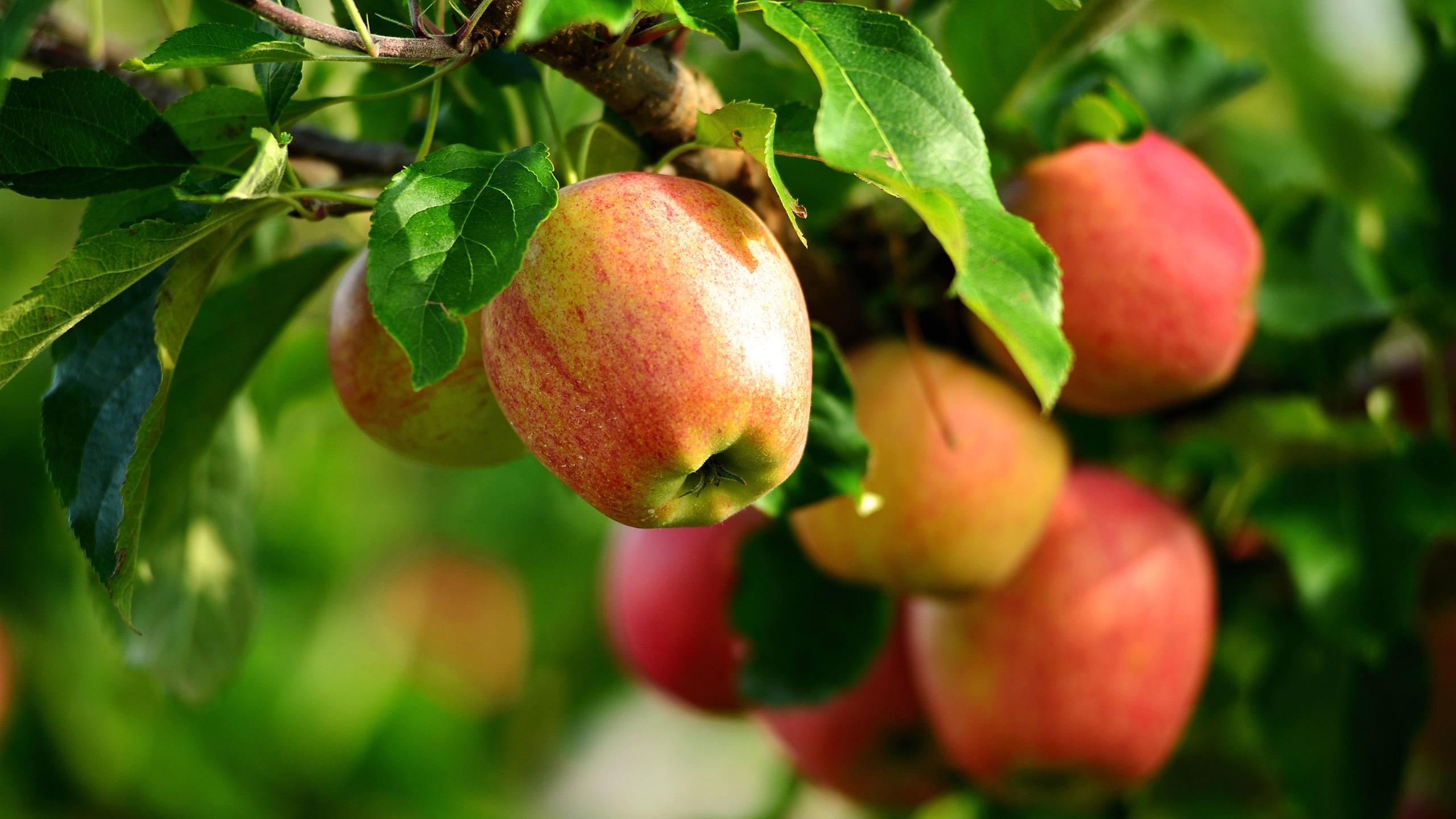 отпуск яблоки в саду фото обои разной