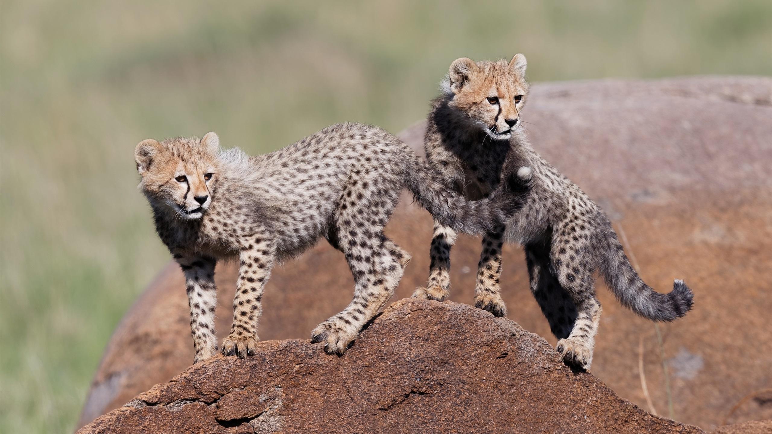 Cute cheetah cubs wallpaper