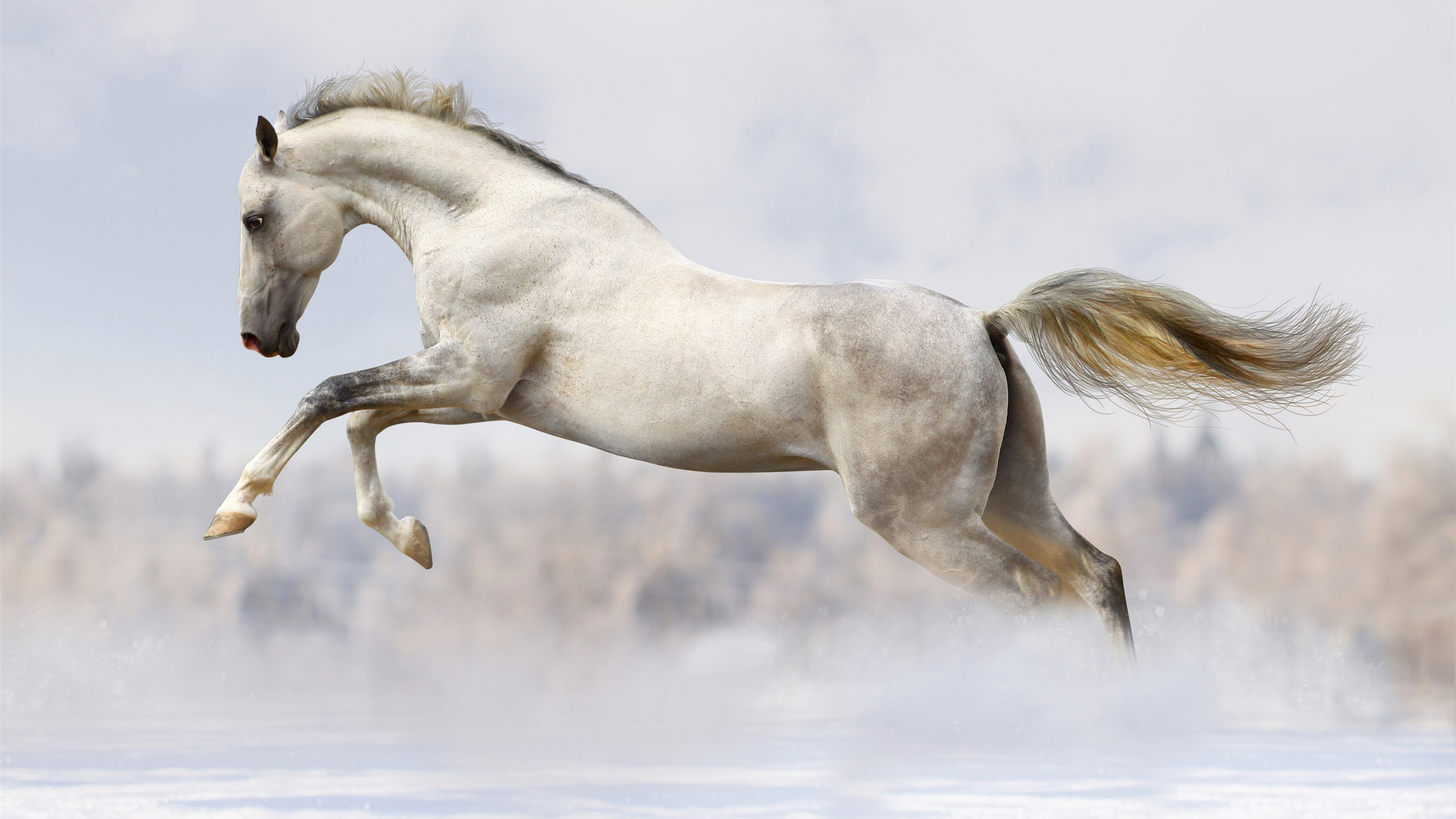 Wallpaper White Horse Fast Run 3840x2160 Uhd 4k Picture Image