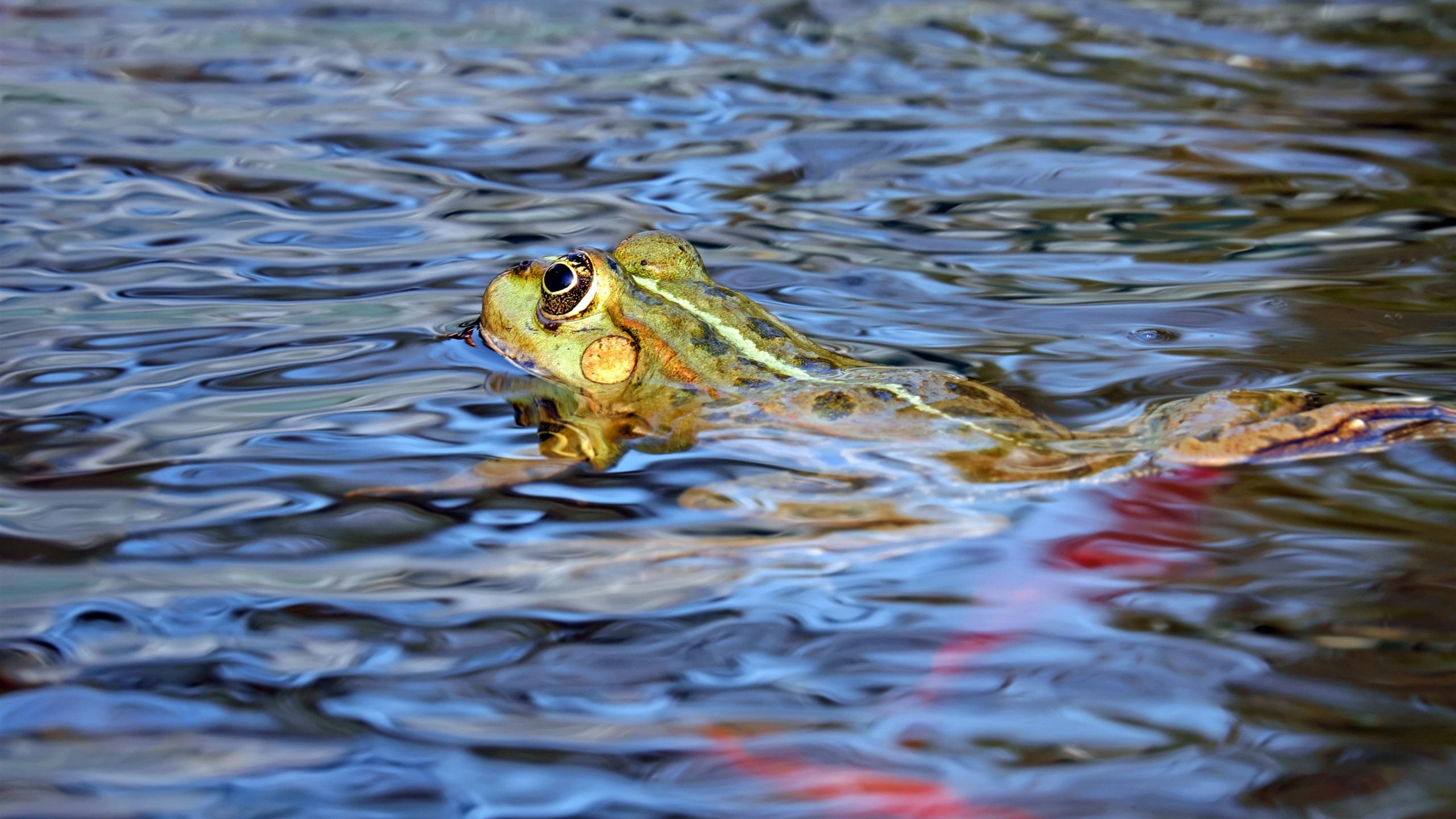 青蛙在水中游泳 壁纸 - 2560x1440 qhd高清图片