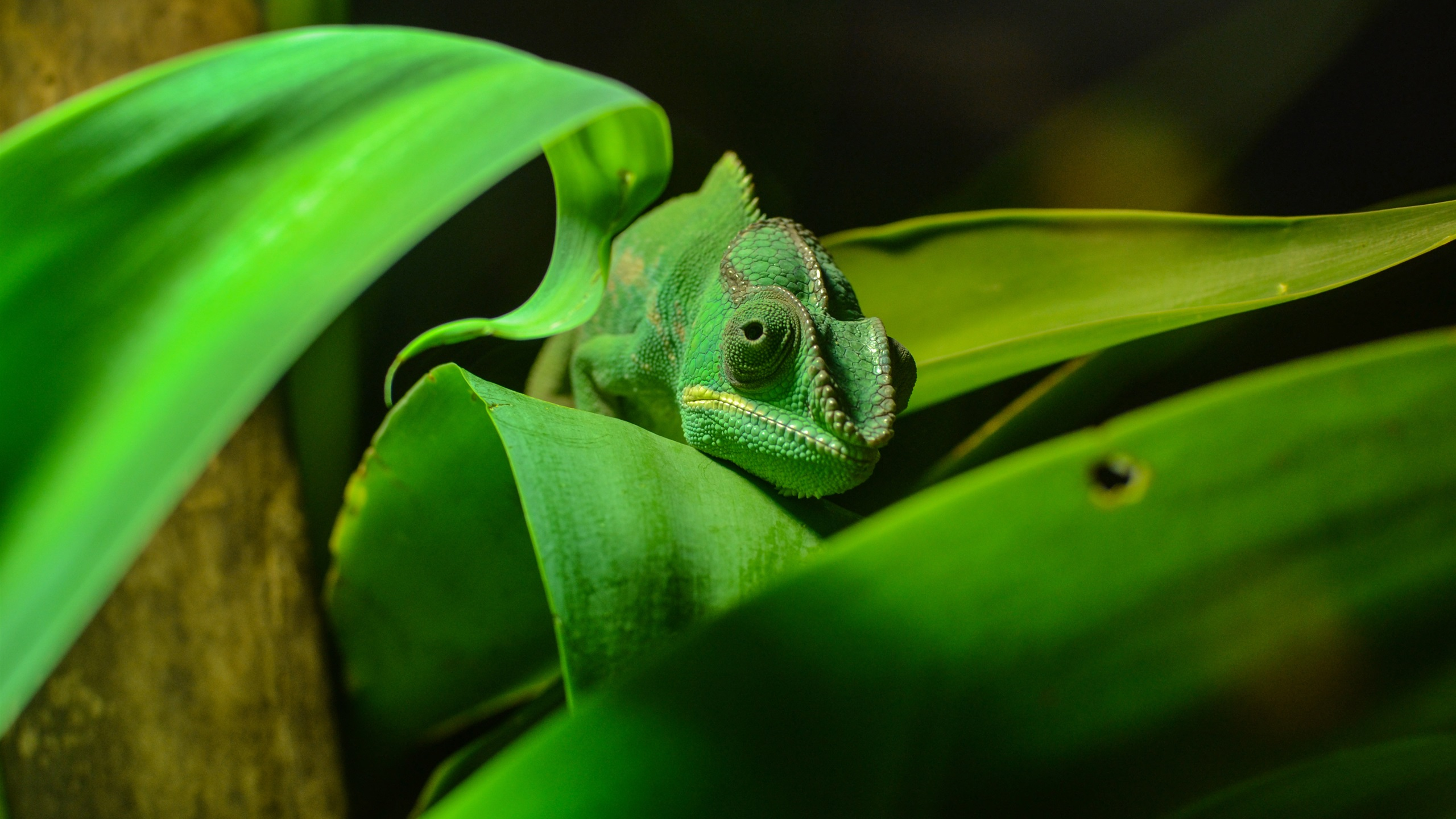 green chameleon widescreen wallpaper - photo #25