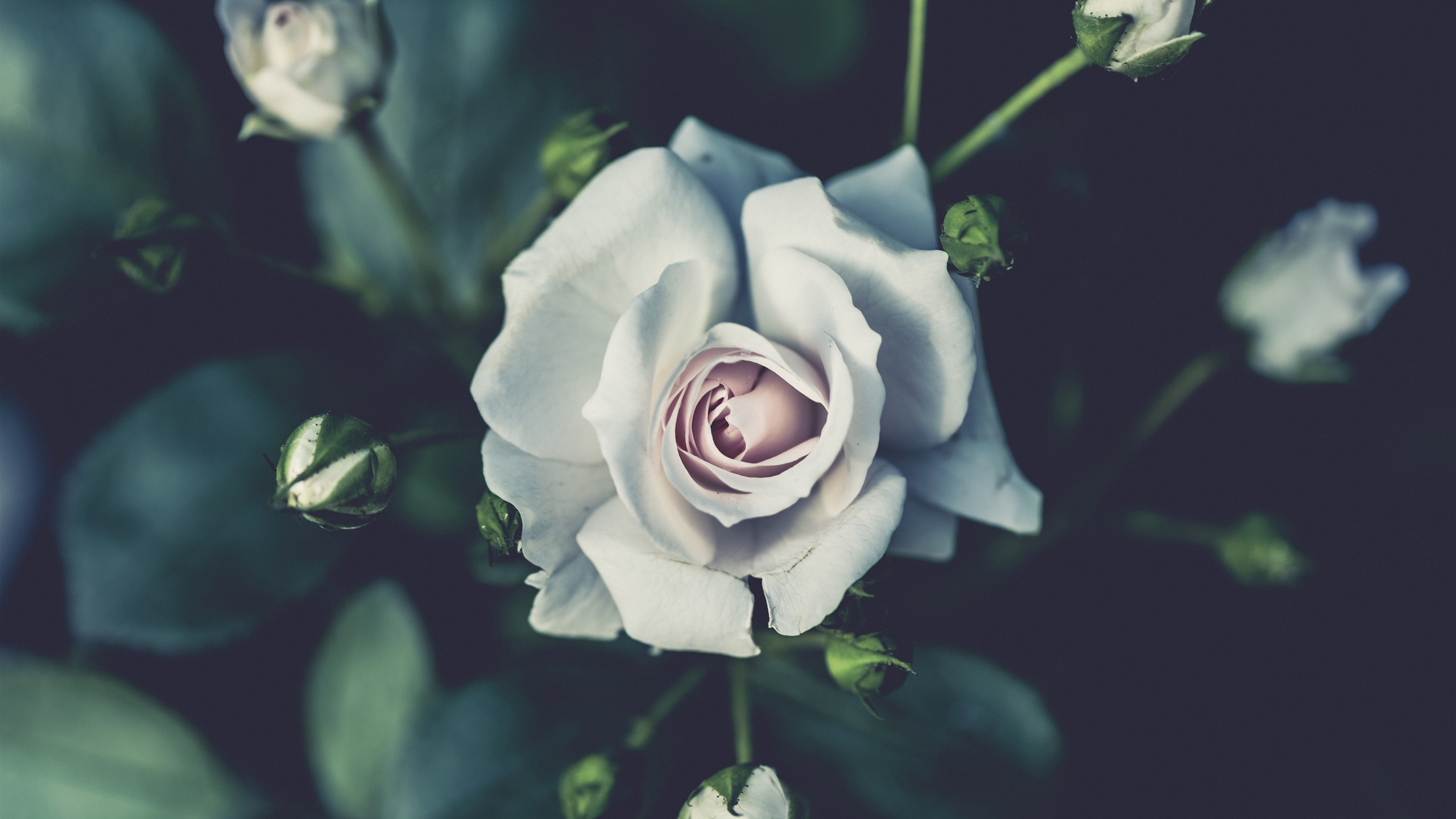 Wallpaper White Rose Photography Buds Blurry 3840x2160 Uhd