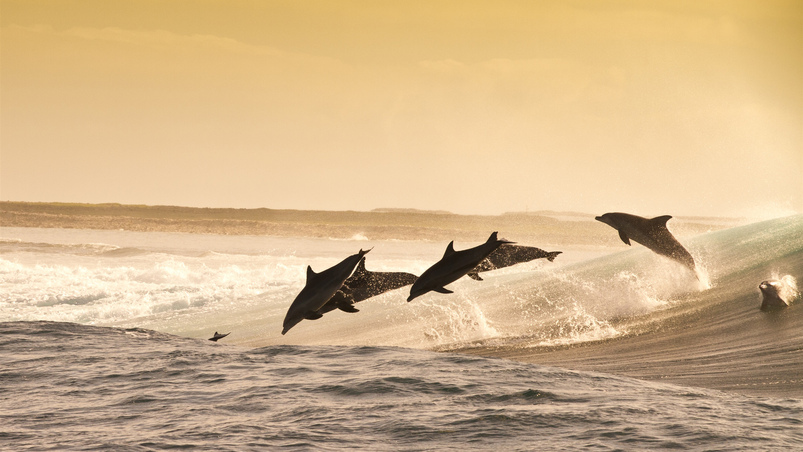 Wallpaper Dolphins Jumping At Sunset Sea Water Splash 3840x2160 UHD