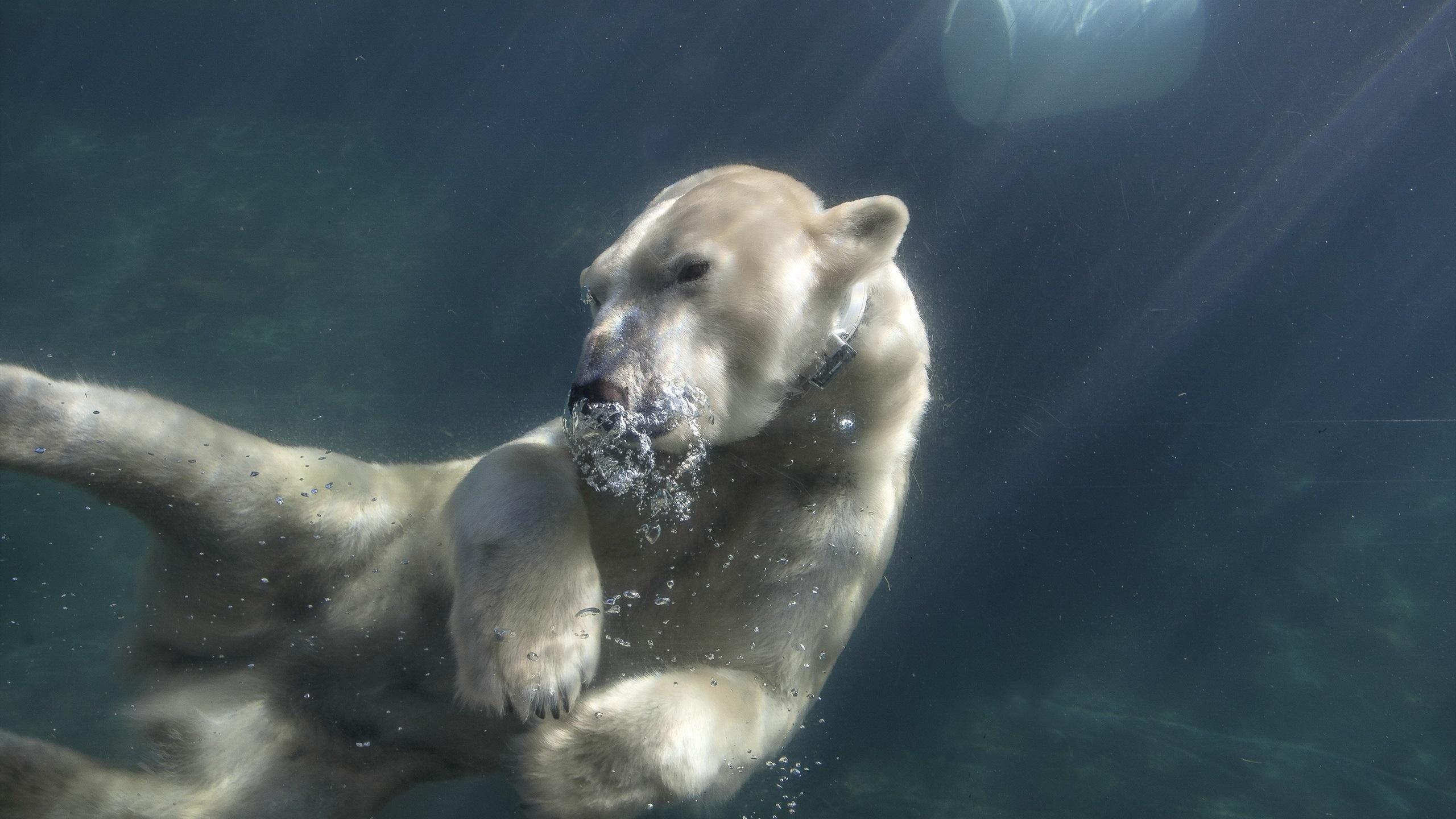 北极熊在水下游泳广州海豚企业管理有限公司图片