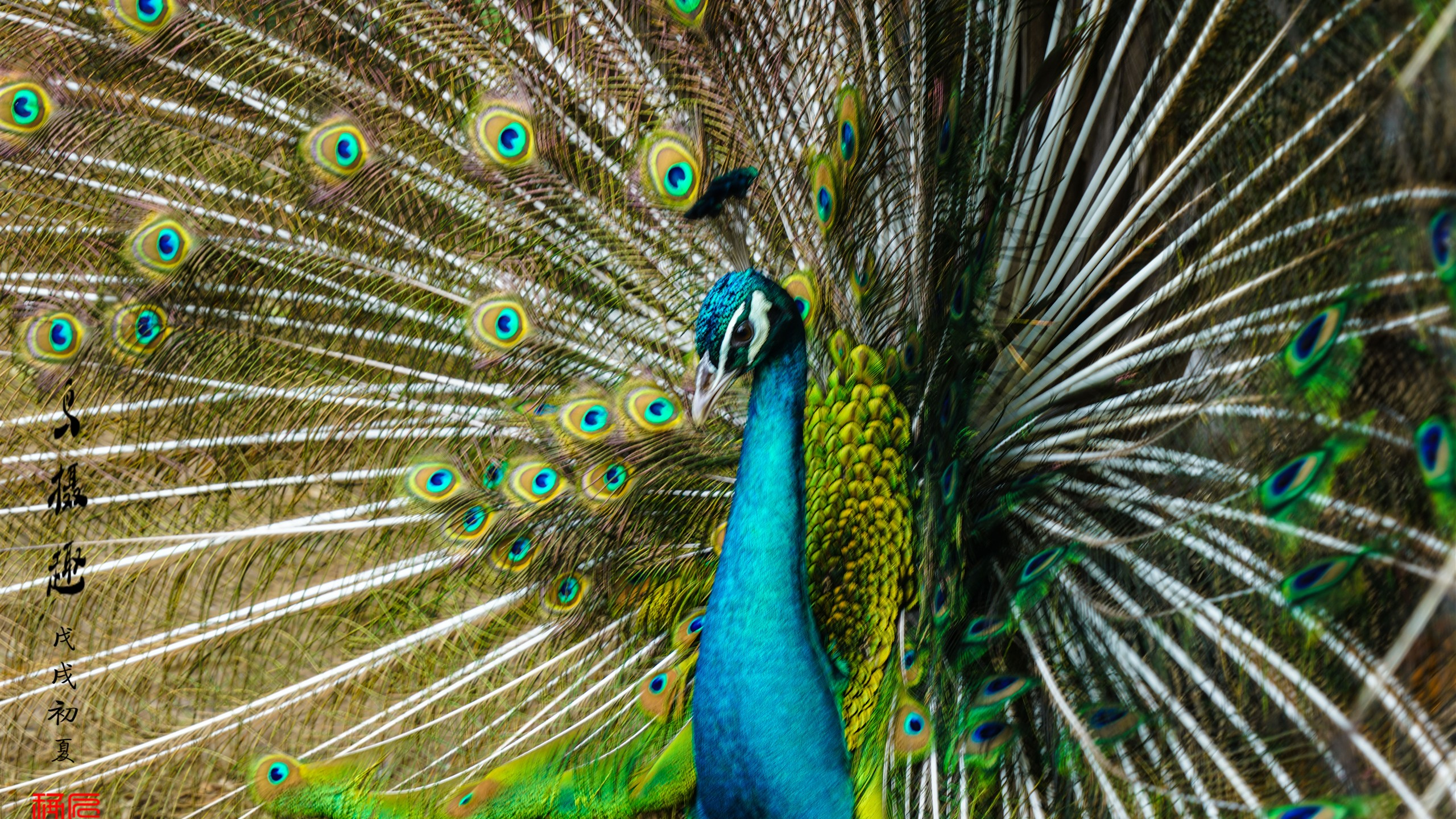 Wallpaper Peacock Tail Open Beautiful Feathers 7680x4320
