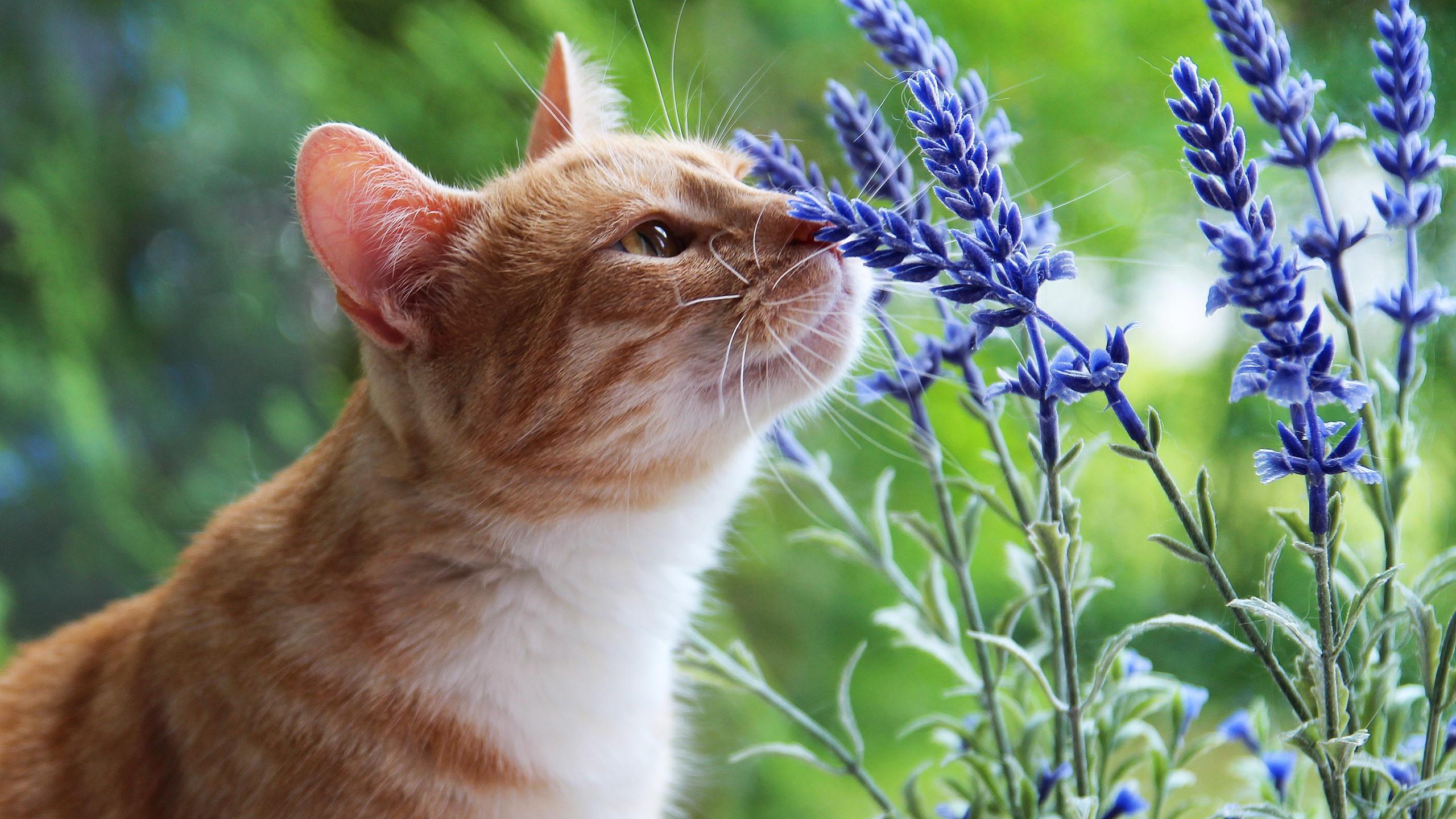 壁紙 猫とラベンダーの花 2560x1440 Qhd 無料のデスクトップの背景 画像