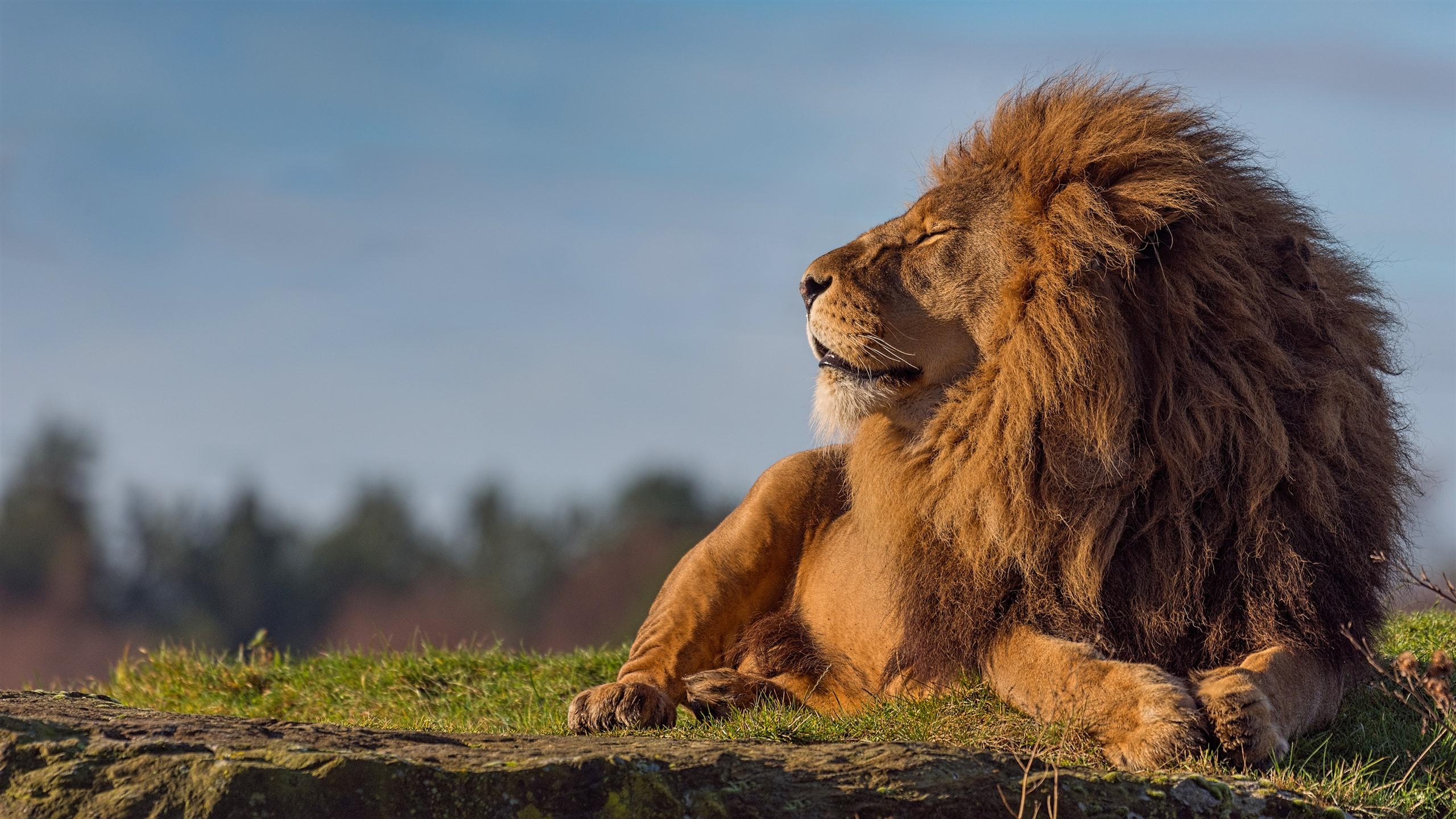 Fonds Décran Lion Ferme Les Yeux 3840x2160 Uhd 4k Image