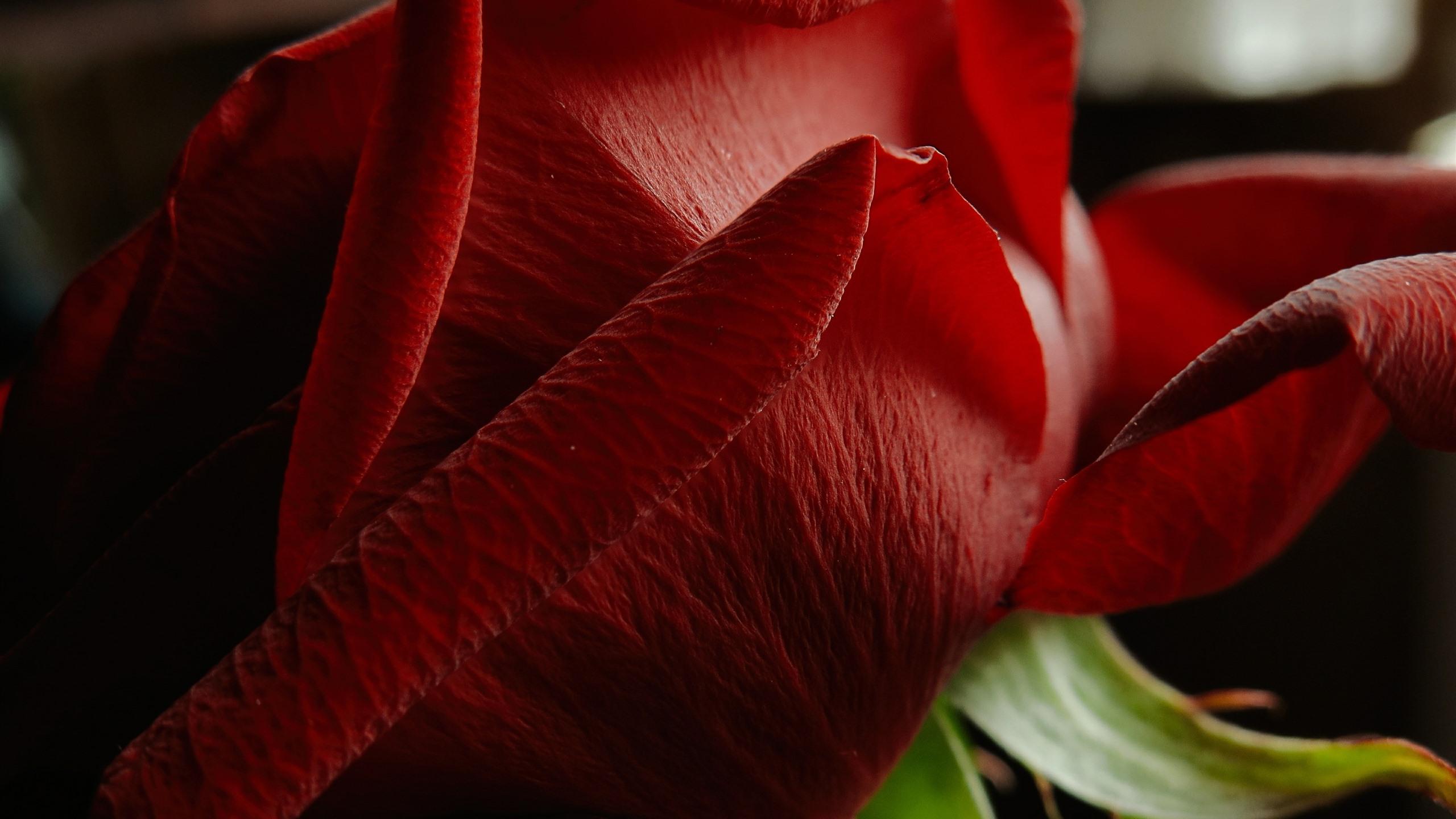 Fonds Décran Gros Plan Rose Rouge Pétales Fond Noir