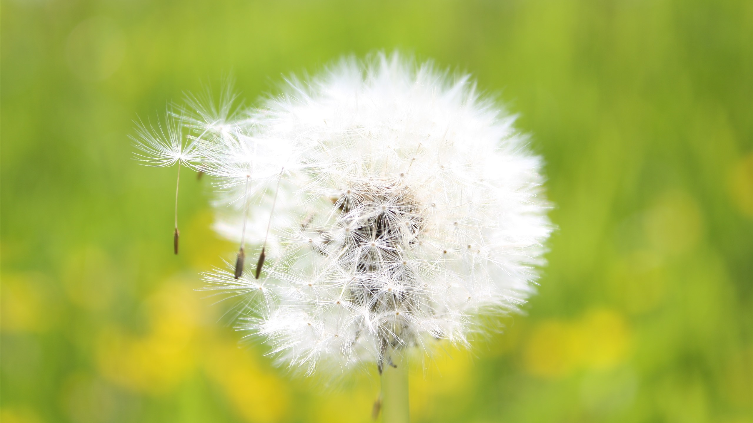 Wallpaper Dandelion White Flower Close Up Seeds Wind