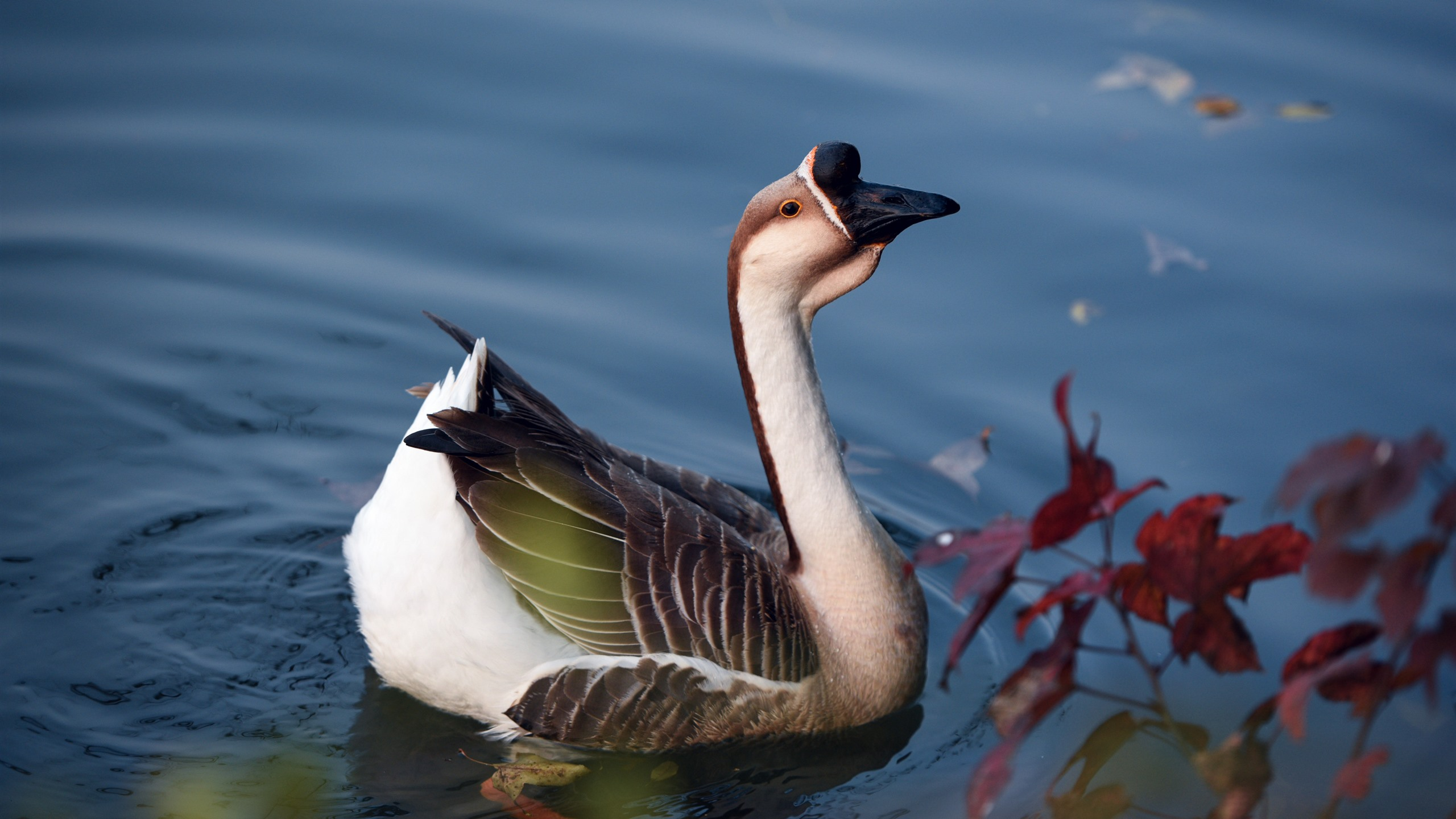 Wallpaper Wild Goose, Pond, Water 2880x1800 HD Picture, Image
