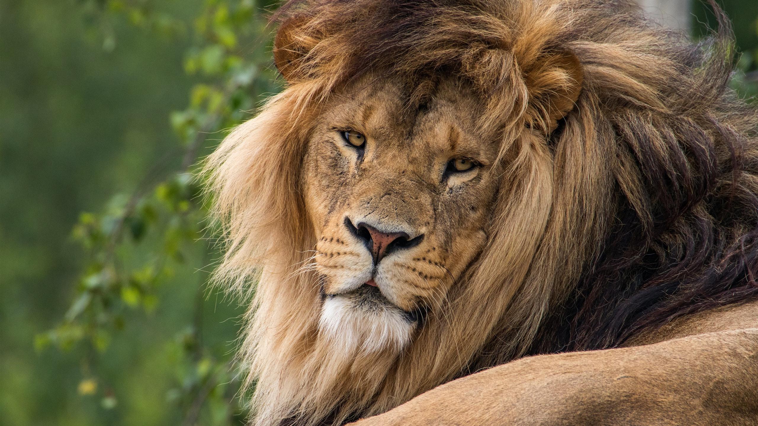Fonds Décran Lion Reste Regarde En Arrière Crinière