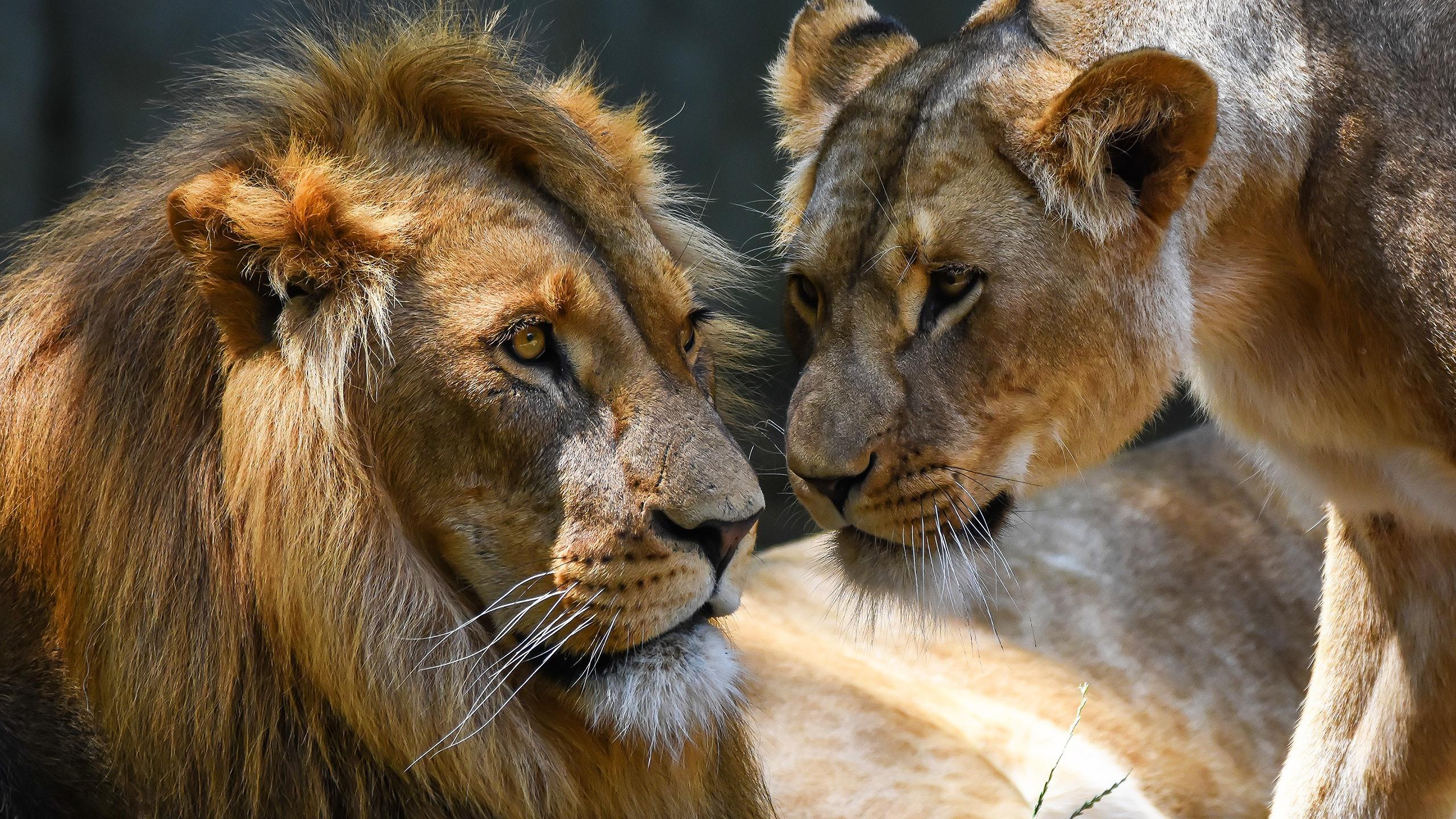 Fonds Décran Amour Lion Et Lionne 2560x1600 Hd Image