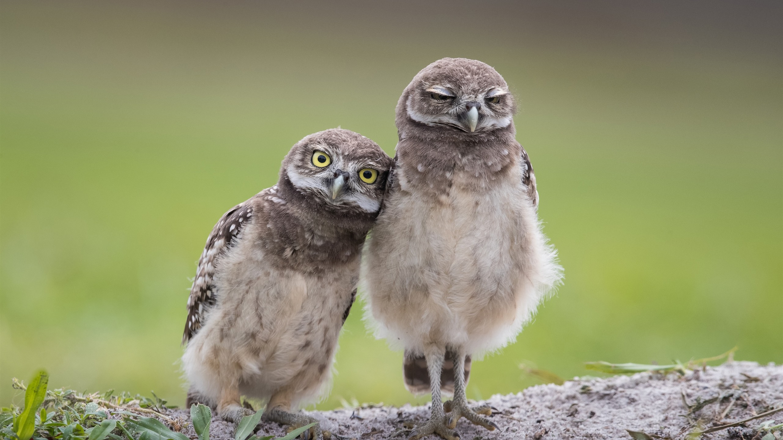 Wallpaper Two owls, birds 2560x1600 HD Picture, Image