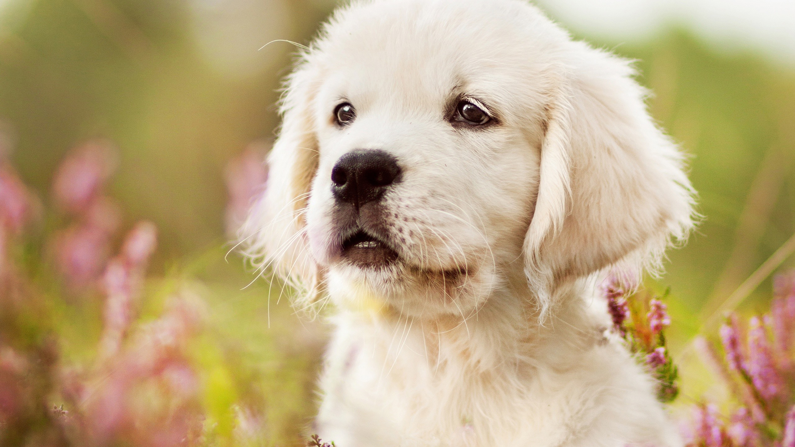 Wallpaper Cute White Puppy Look 2560x1600 Hd Picture Image