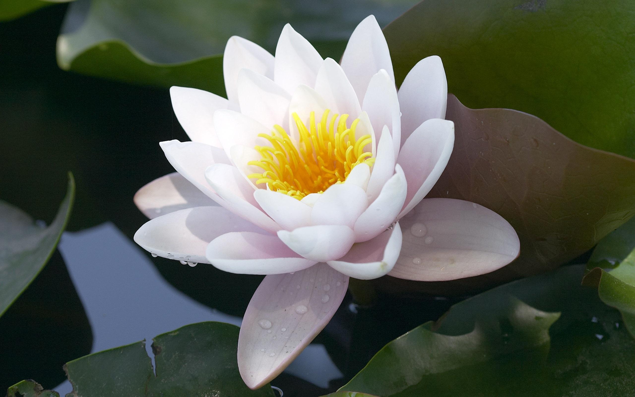 2560x1600 hd - Fleur de lotus symbole ...